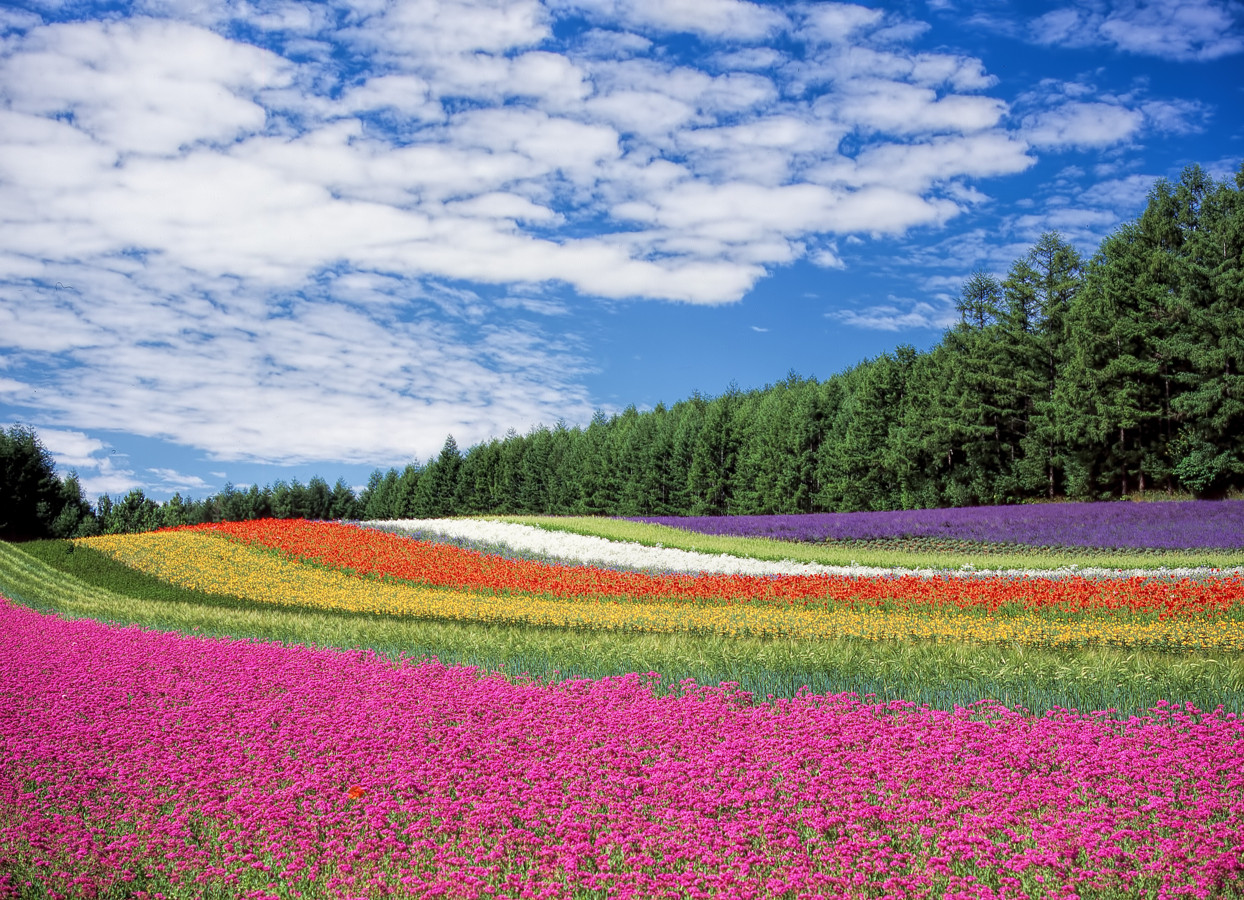 Red Yellow and Orange Flower Field, Nature, Petals, Trees, Flowers, HQ Photo