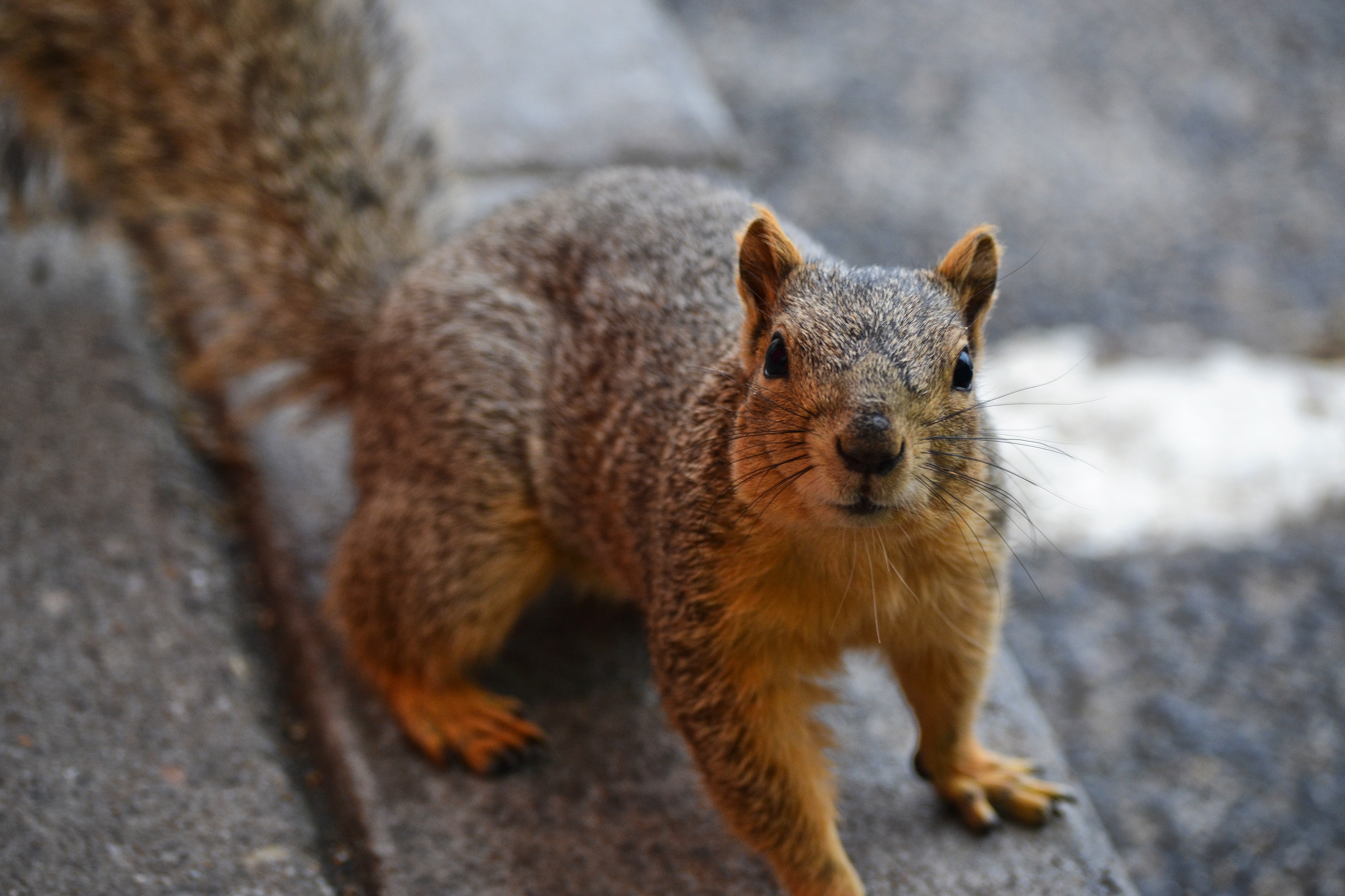 Red-haired squirrel with a fluffy tail looking into the camera, Red-haired squirrel with a fluffy tail looking into the camera