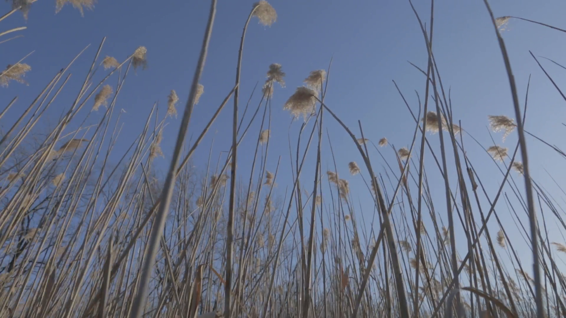 Low angle shot of reed plants blowing in the wind. 1080p HD. Stock ...