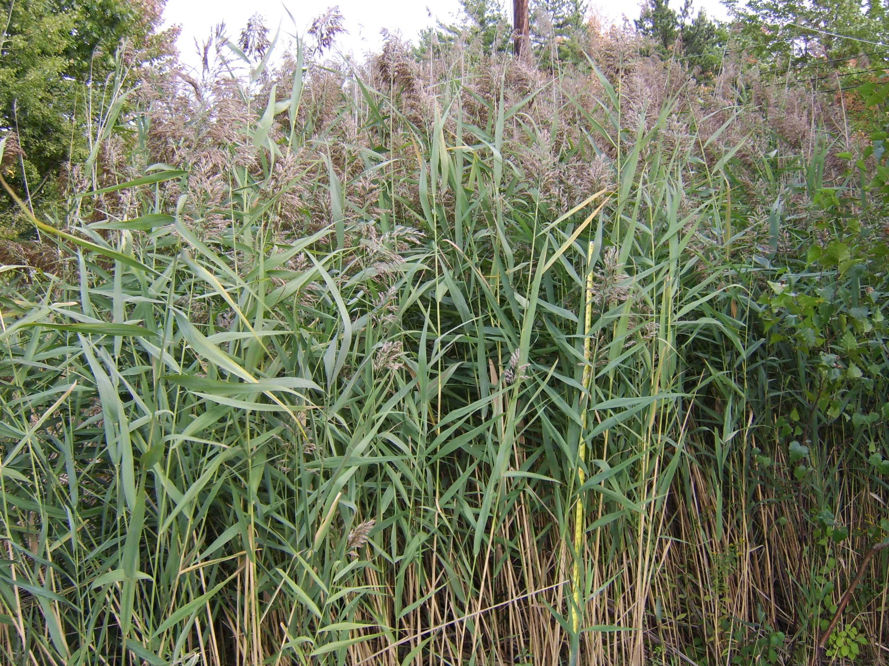 Permaculture Plants: Common Reed | Temperate Climate Permaculture