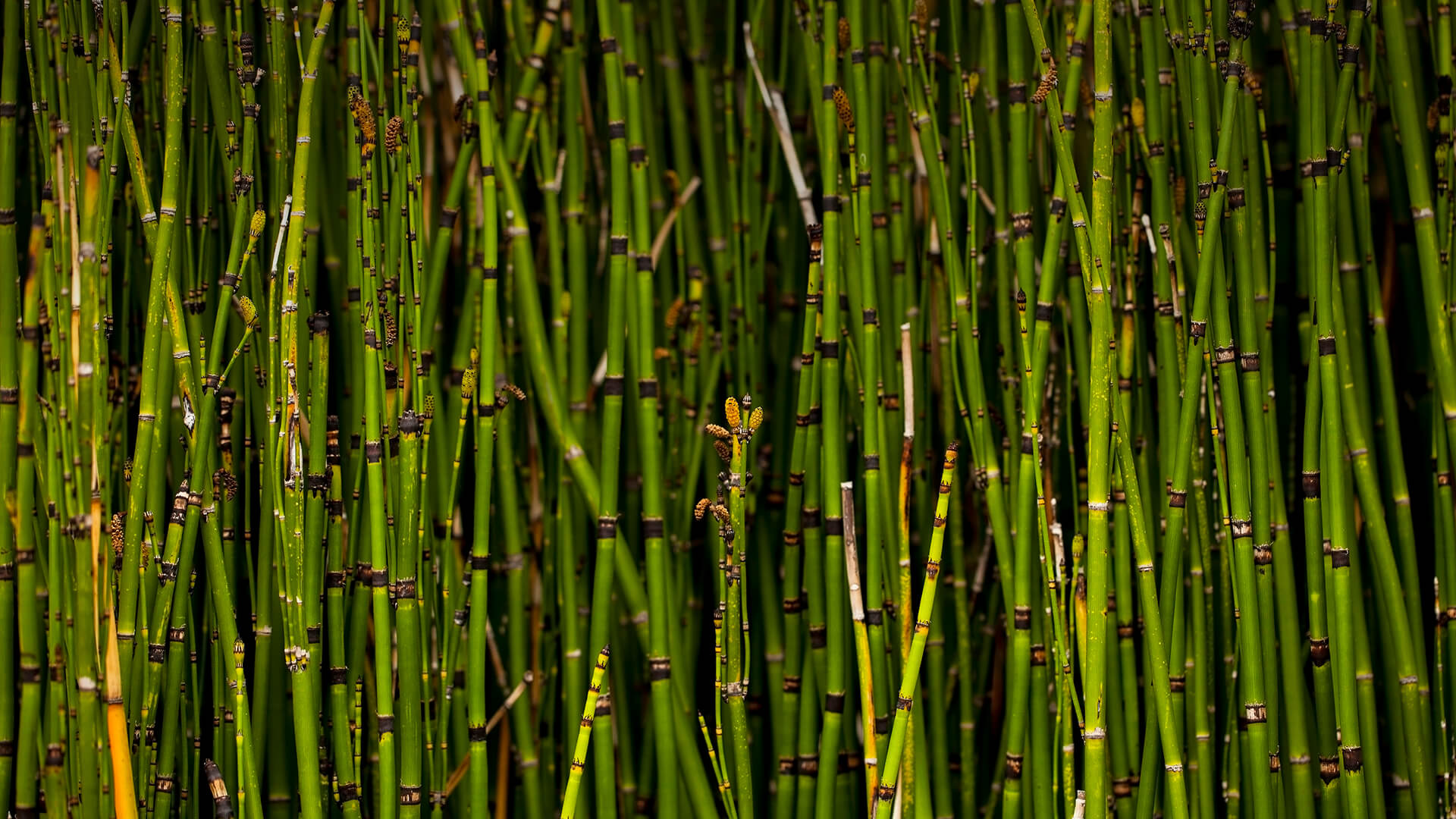 Horsetail reed | San Diego Zoo Animals & Plants