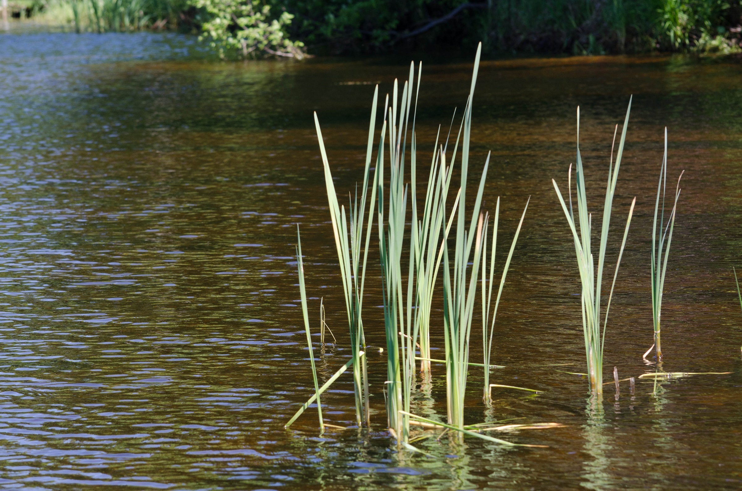 Reeds in the River, Flow, Lake, Nature, Reed, HQ Photo