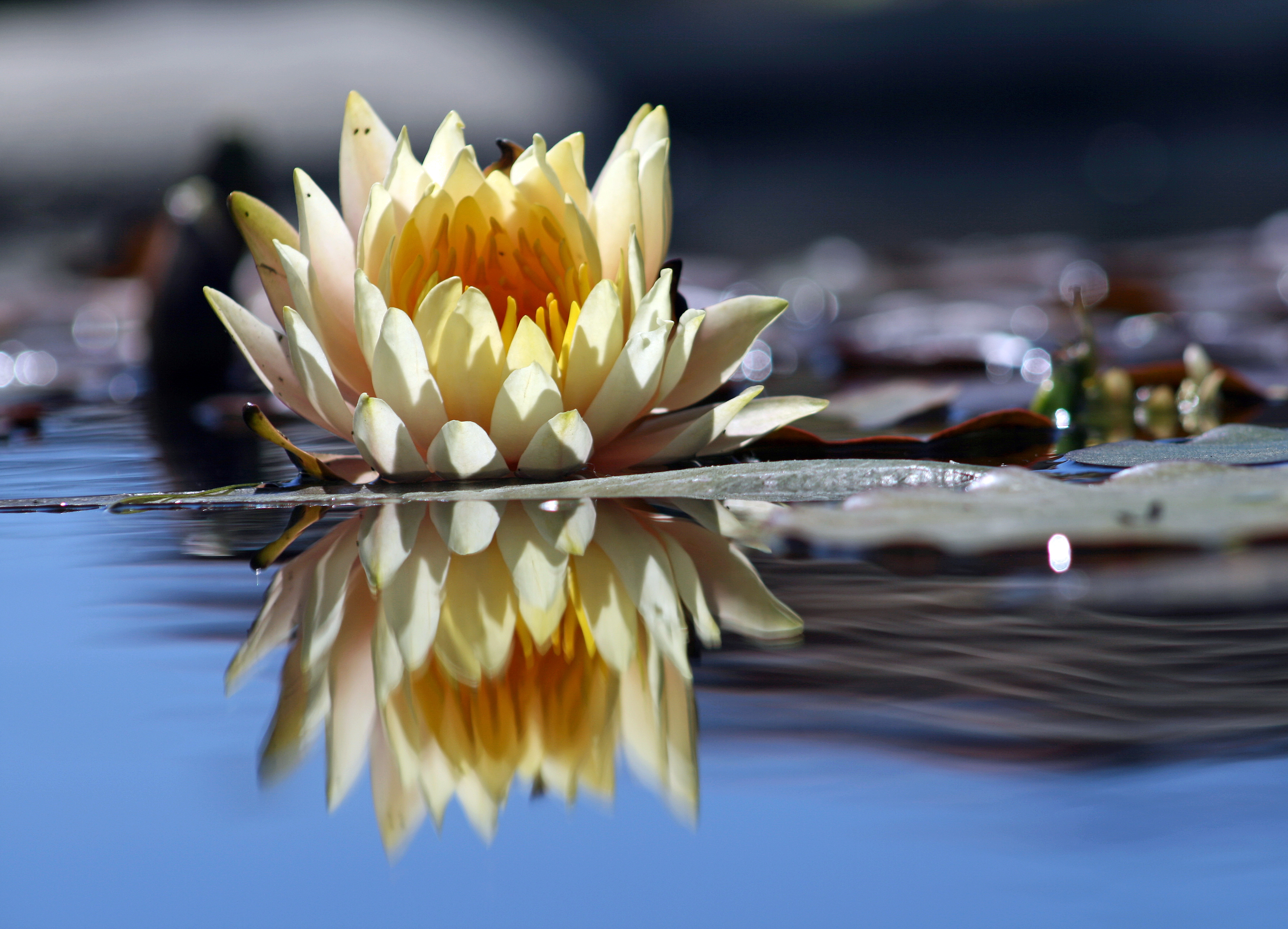 File:Flower reflection.jpg - Wikimedia Commons