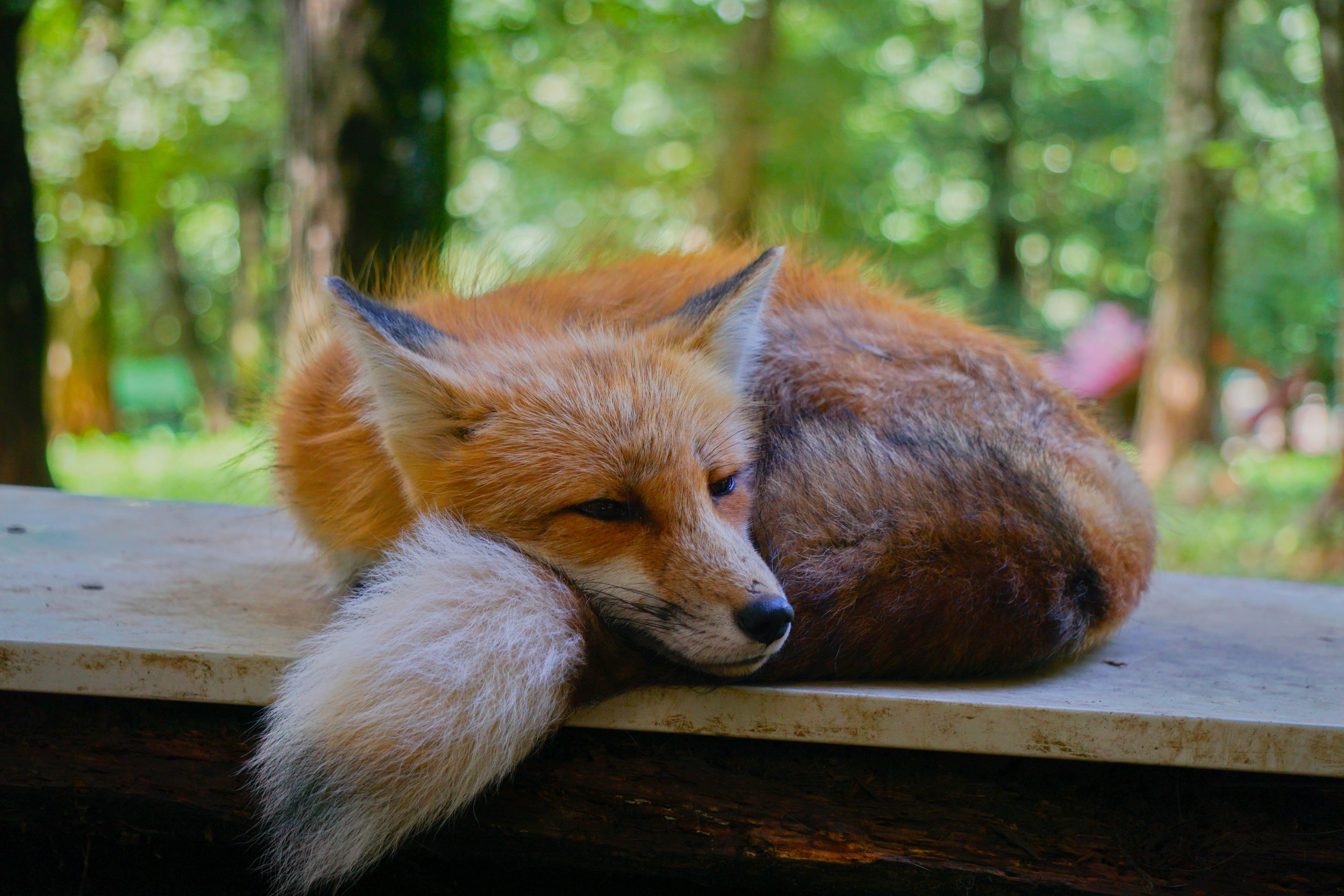 Foxy is resting. : foxes