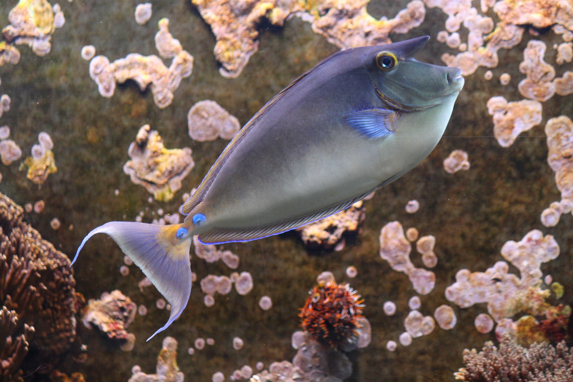 Free photo: Rhino Fish - Rhino, Swimmer, Fish - Free