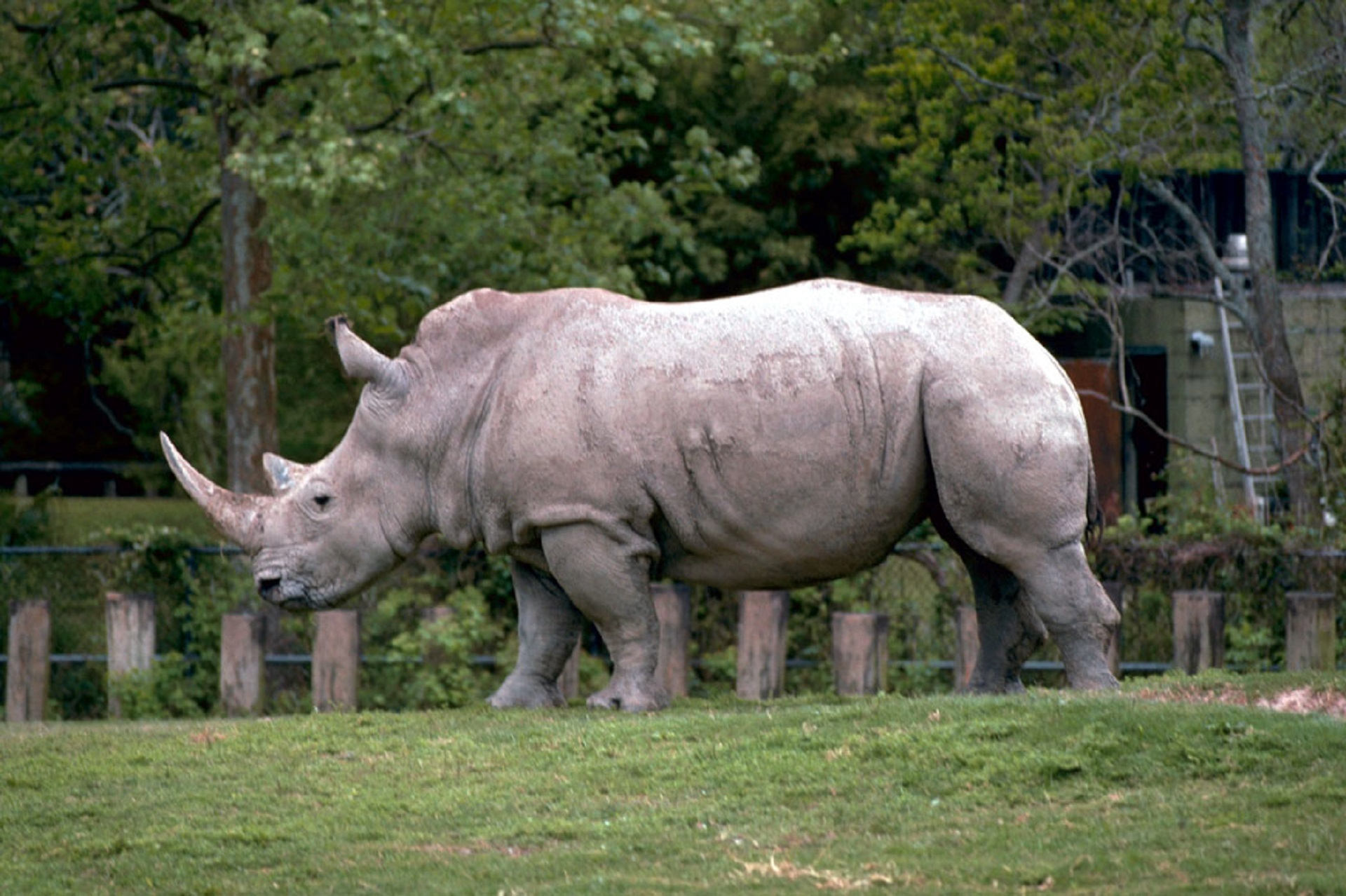 Free photo: Rhino in the Zoo - Wild, Zoo, Rhino - Free