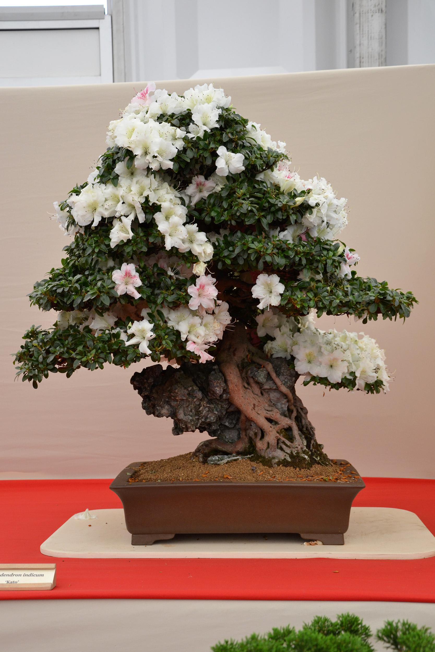 Rhododendron indicum 'kato' photo