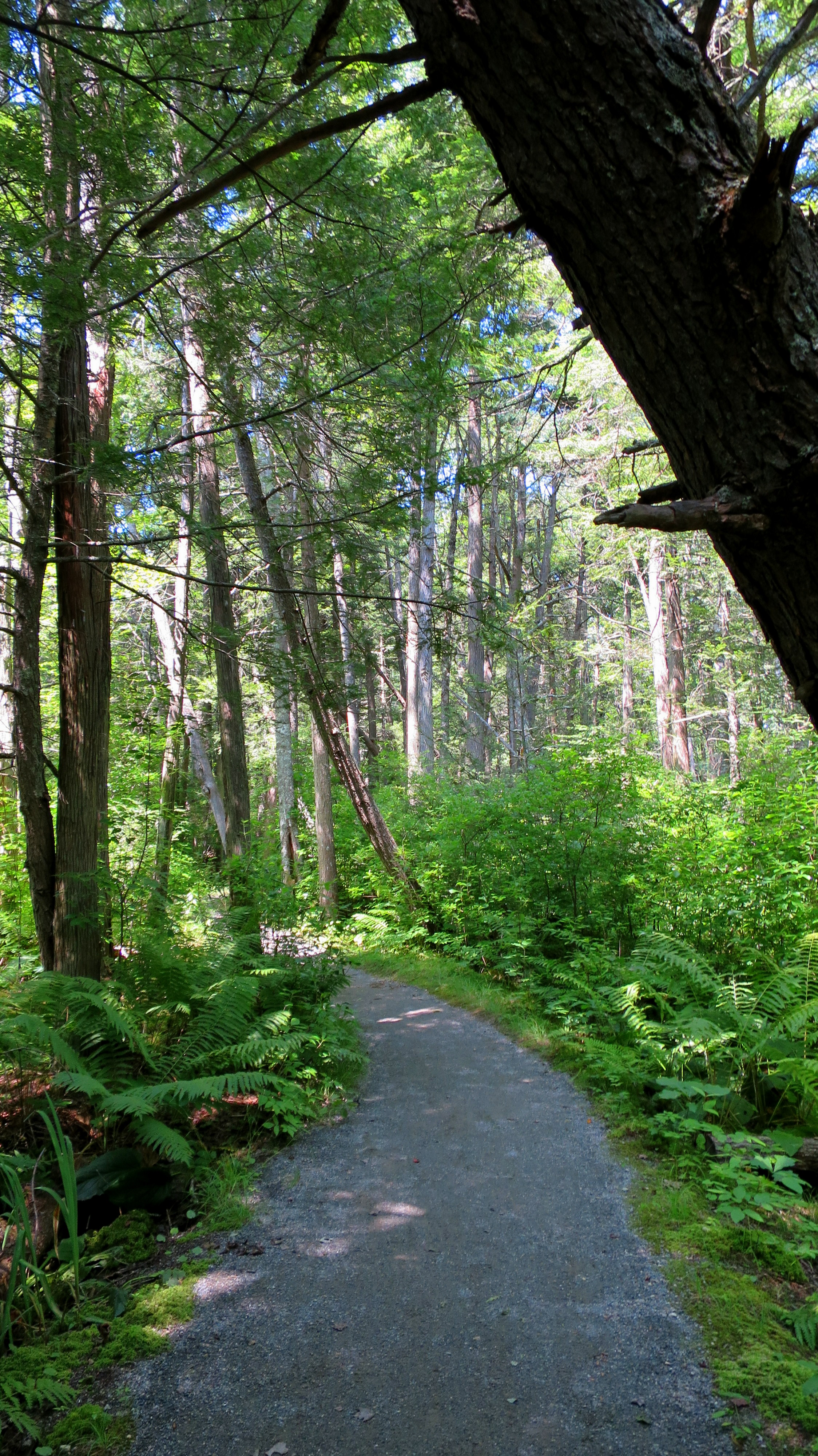 Rhododendron Sanctuary Trail, Pachaug State Forest, Connecticut ...