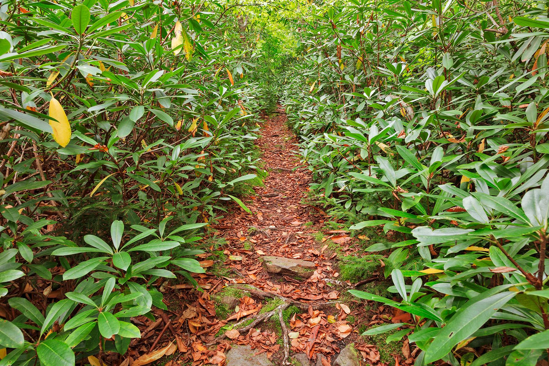 Rhododendron Canopy Trail, Plants, Serenity, Serene, Scenic, HQ Photo