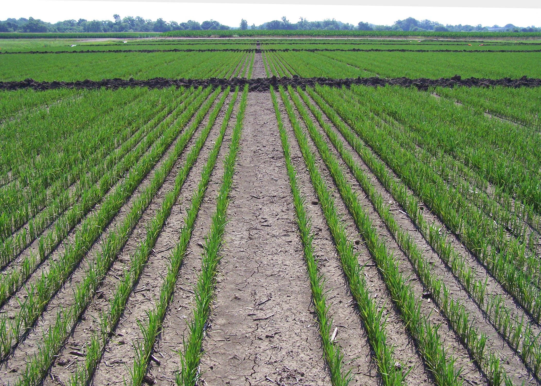 Rains challenge even Mississippi rice fields | Mississippi State ...
