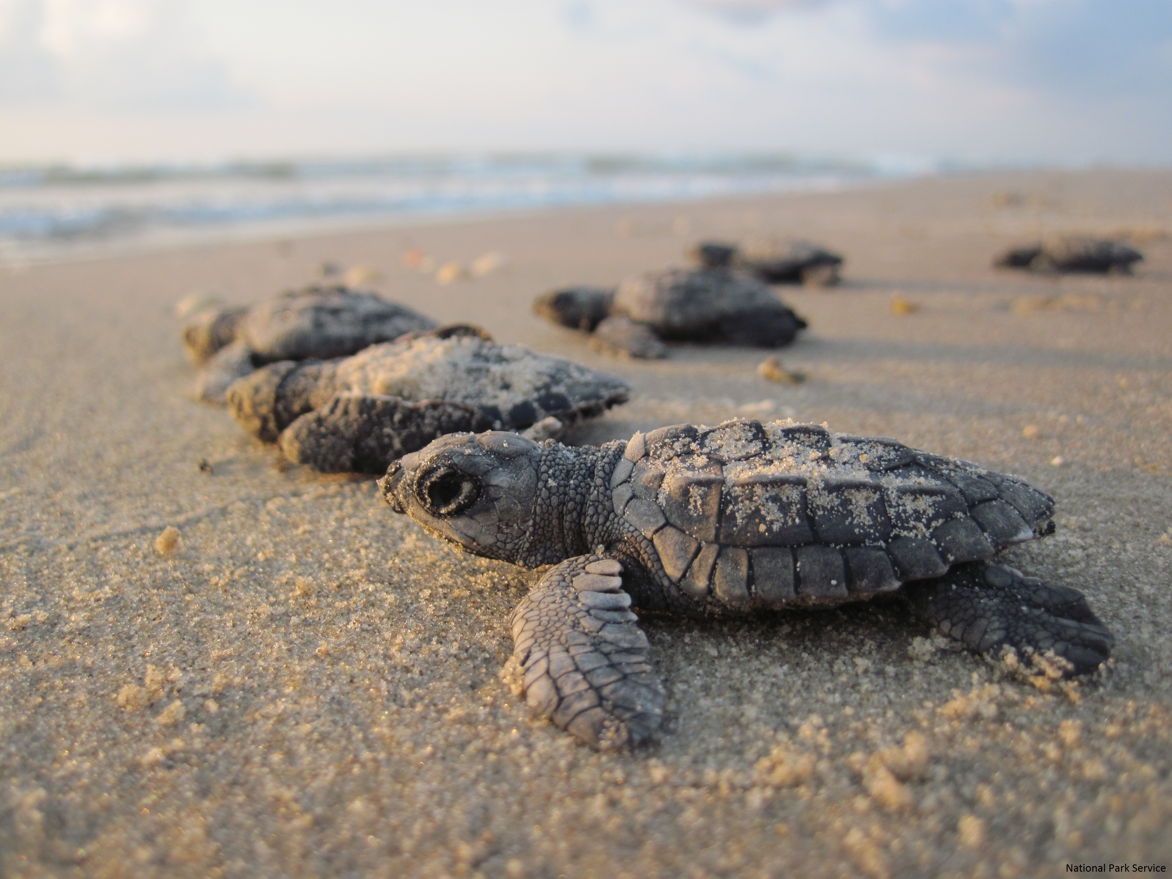 Help the Kemp's Ridley Sea Turtle : The National Wildlife Federation ...
