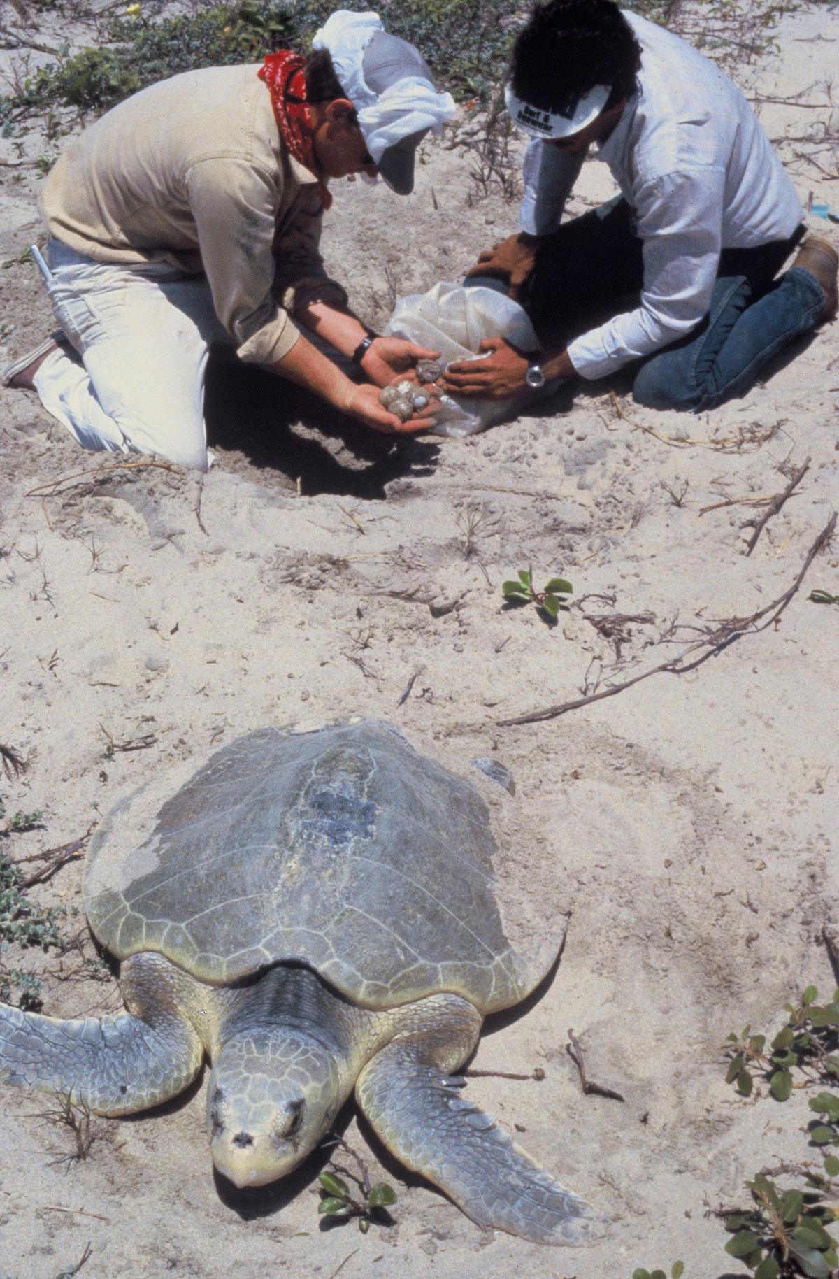 Ridley sea turtle - Wikipedia