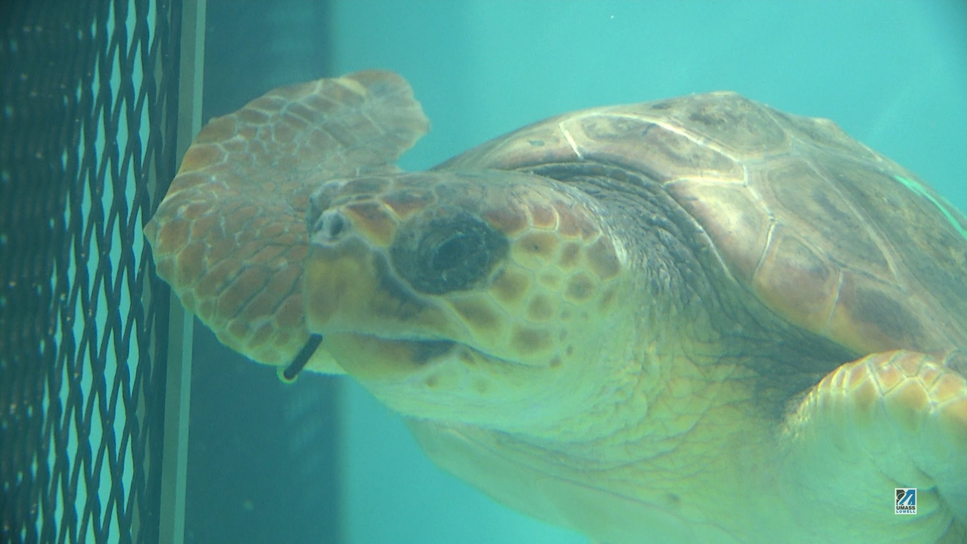 Endangered Kemp's ridley sea turtles (1080p 60fps) - YouTube