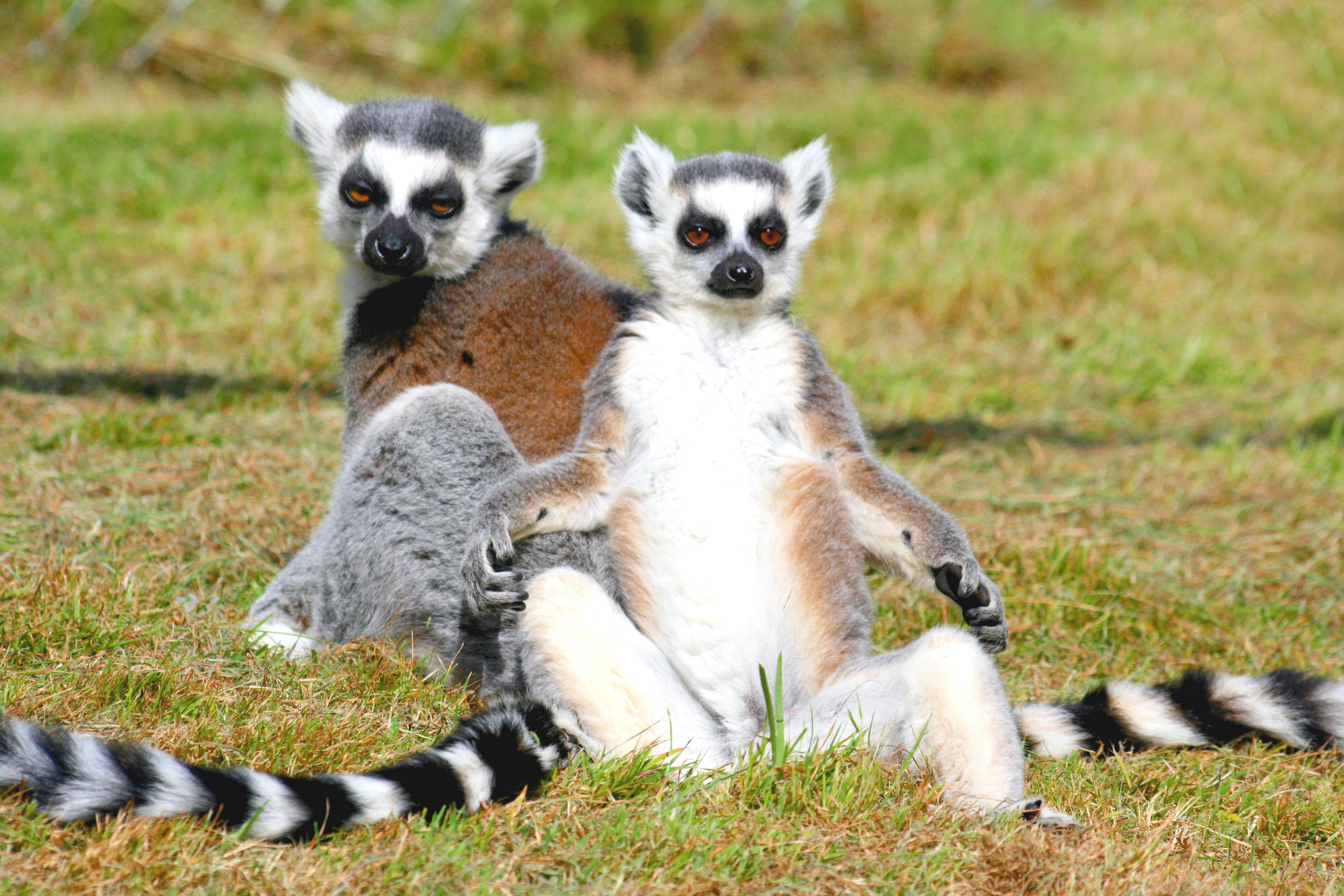 File:Ringtailed lemurs.jpg - Wikimedia Commons