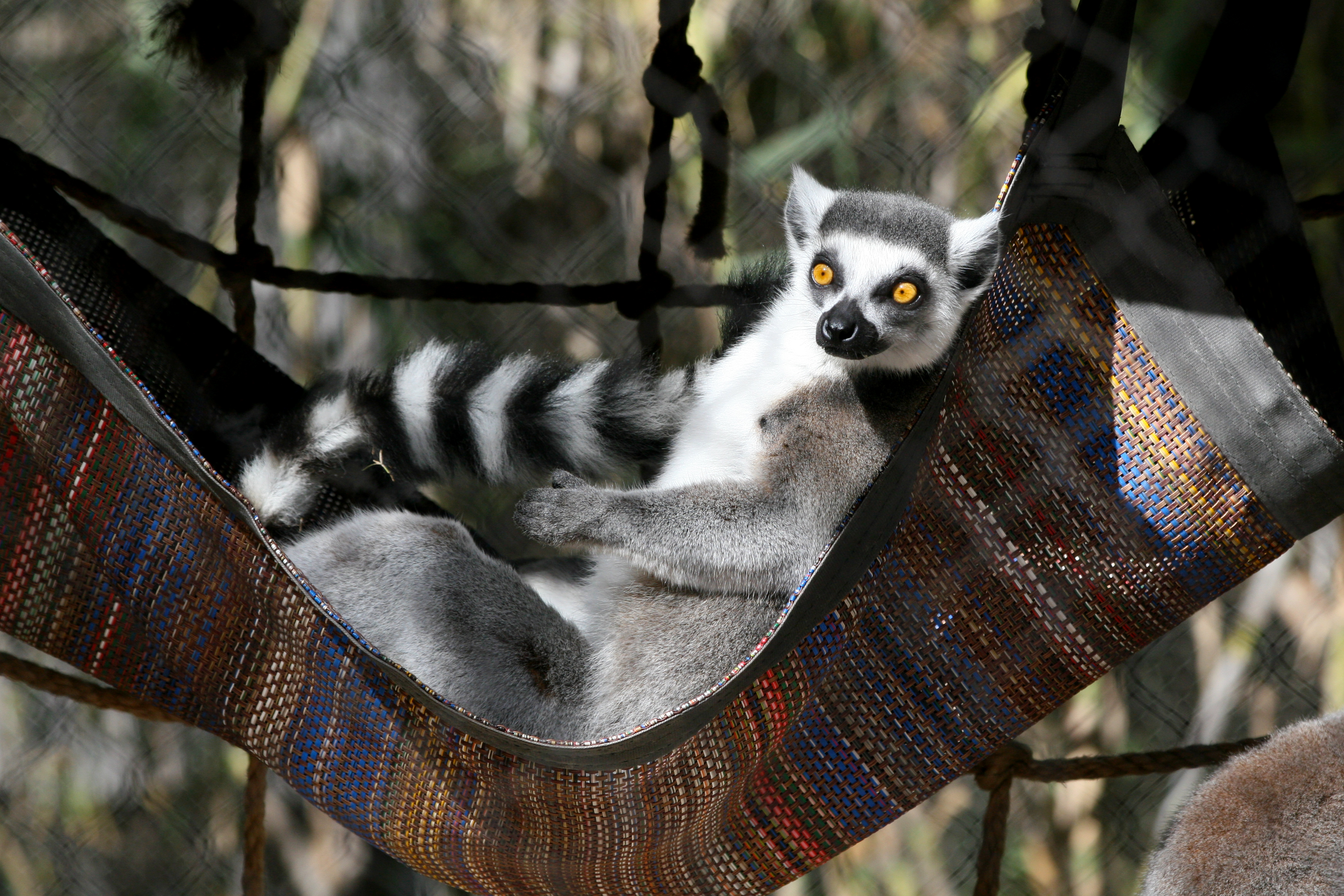 Ring tailed lemur photo