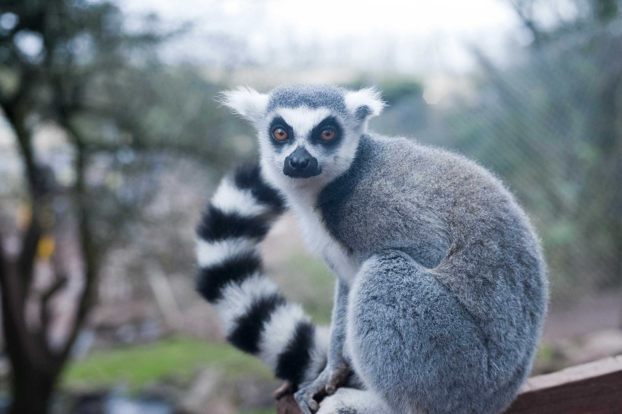 Free image of Ring-tailed lemur