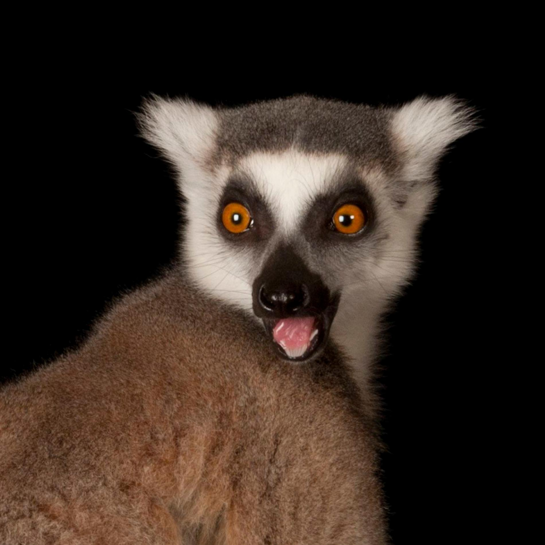 Ring-Tailed Lemur   National Geographic