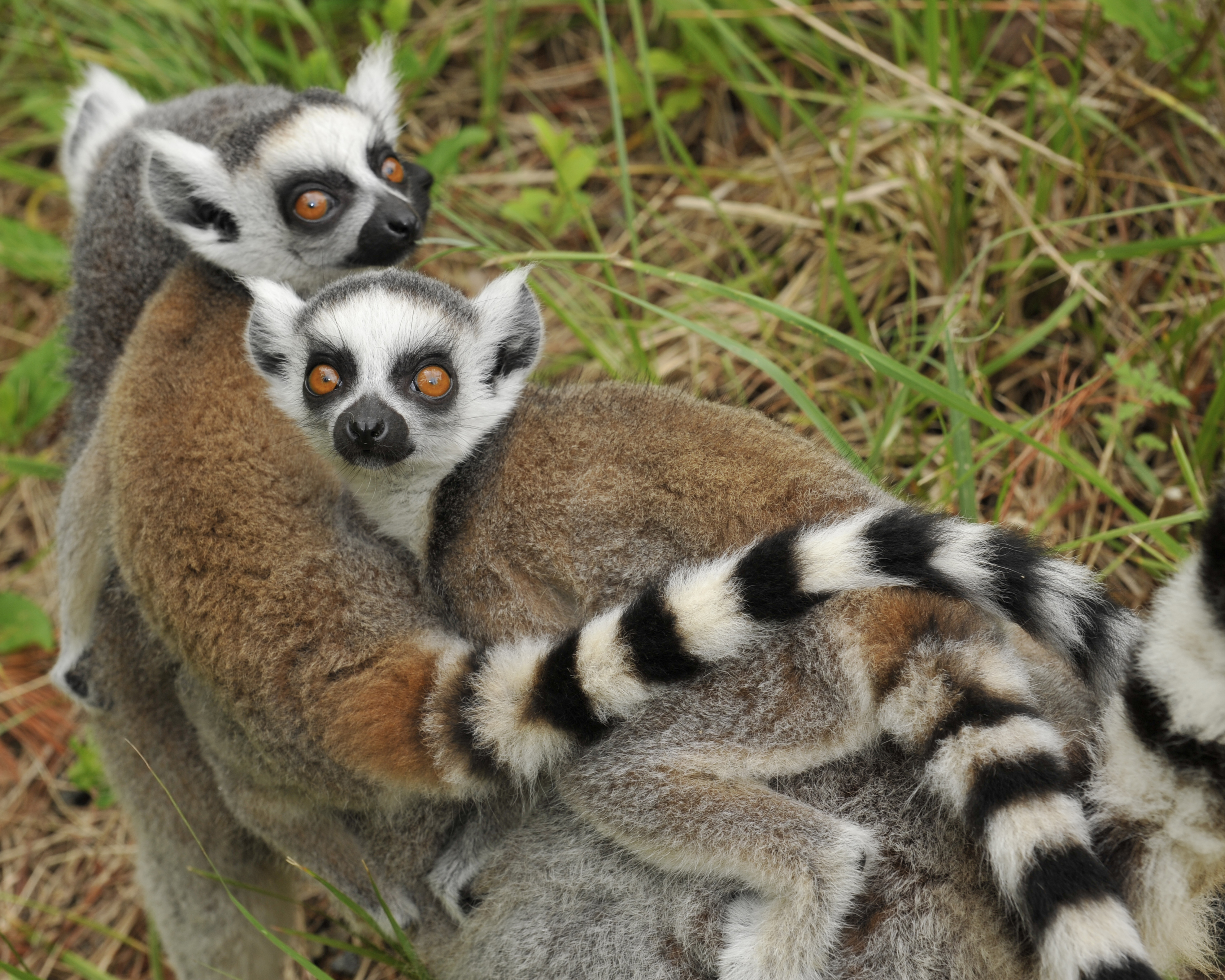 Ring-tailed Lemur   Duke Lemur Center
