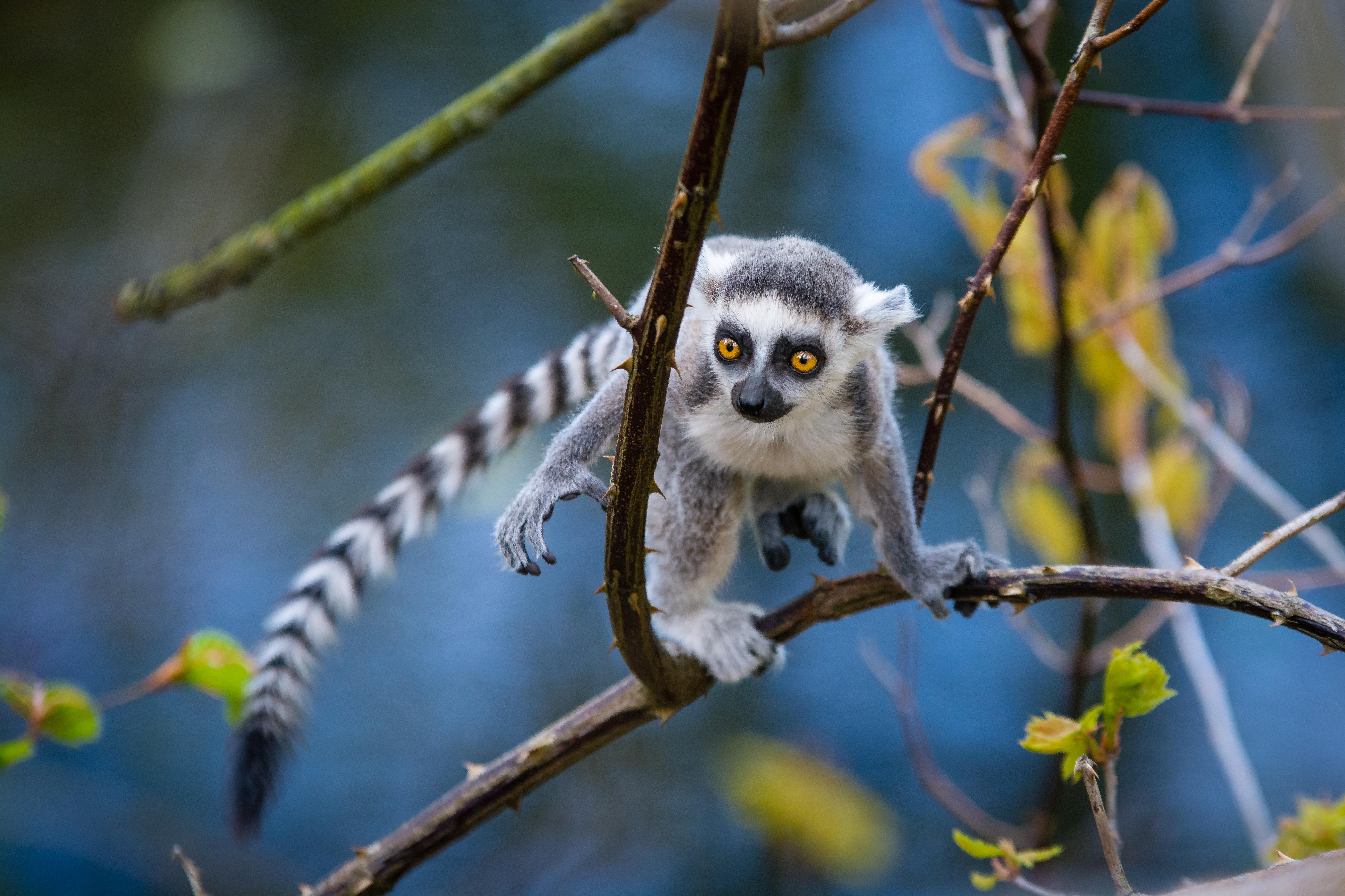 Ring-Tailed Lemur Baby, Adorable, Netherlands, Lemur, Lemuridae, HQ Photo