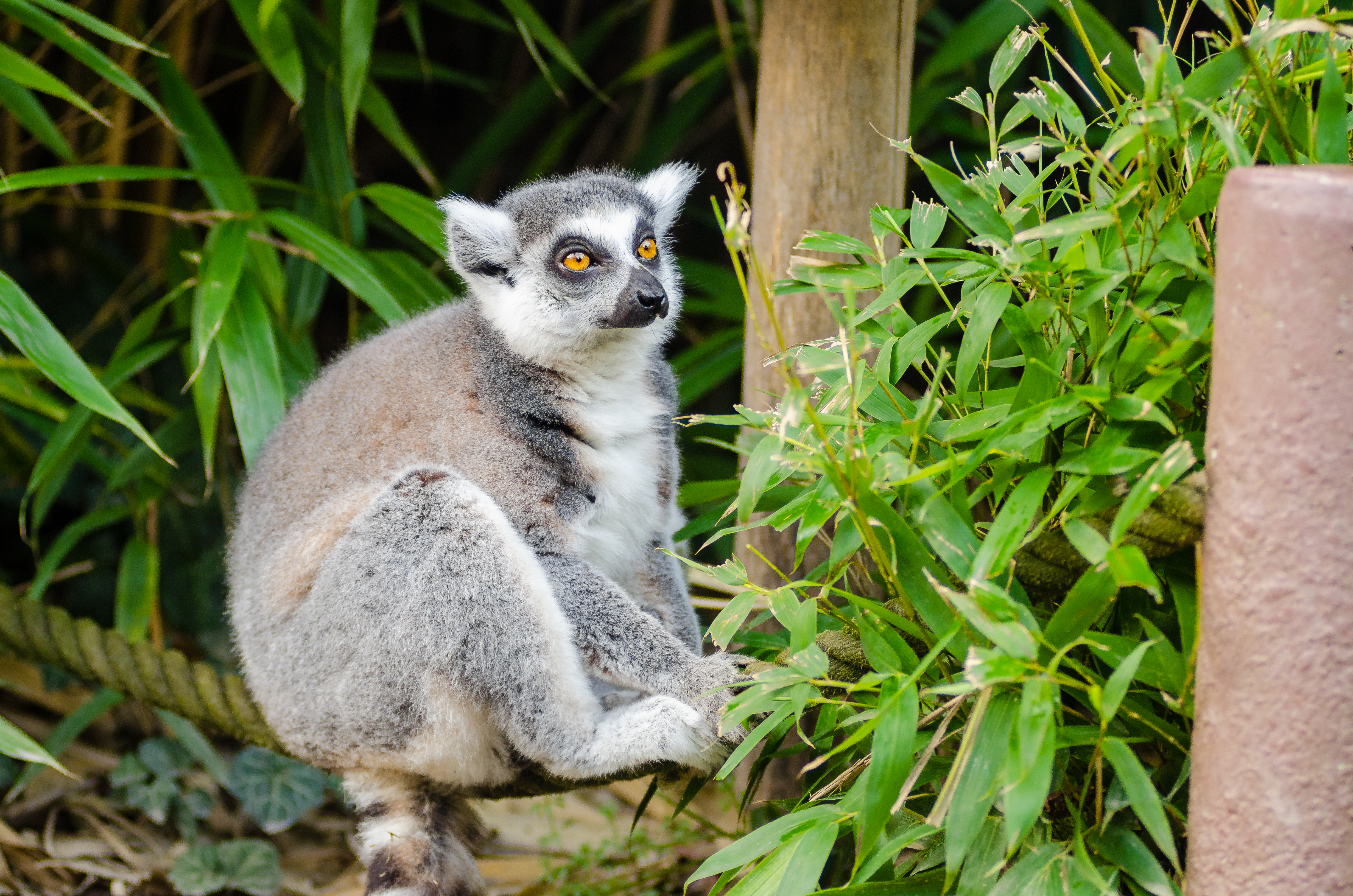 Ring-Tailed Lemur Dad, Adorable, Pet, Lemur, Madagascar, HQ Photo