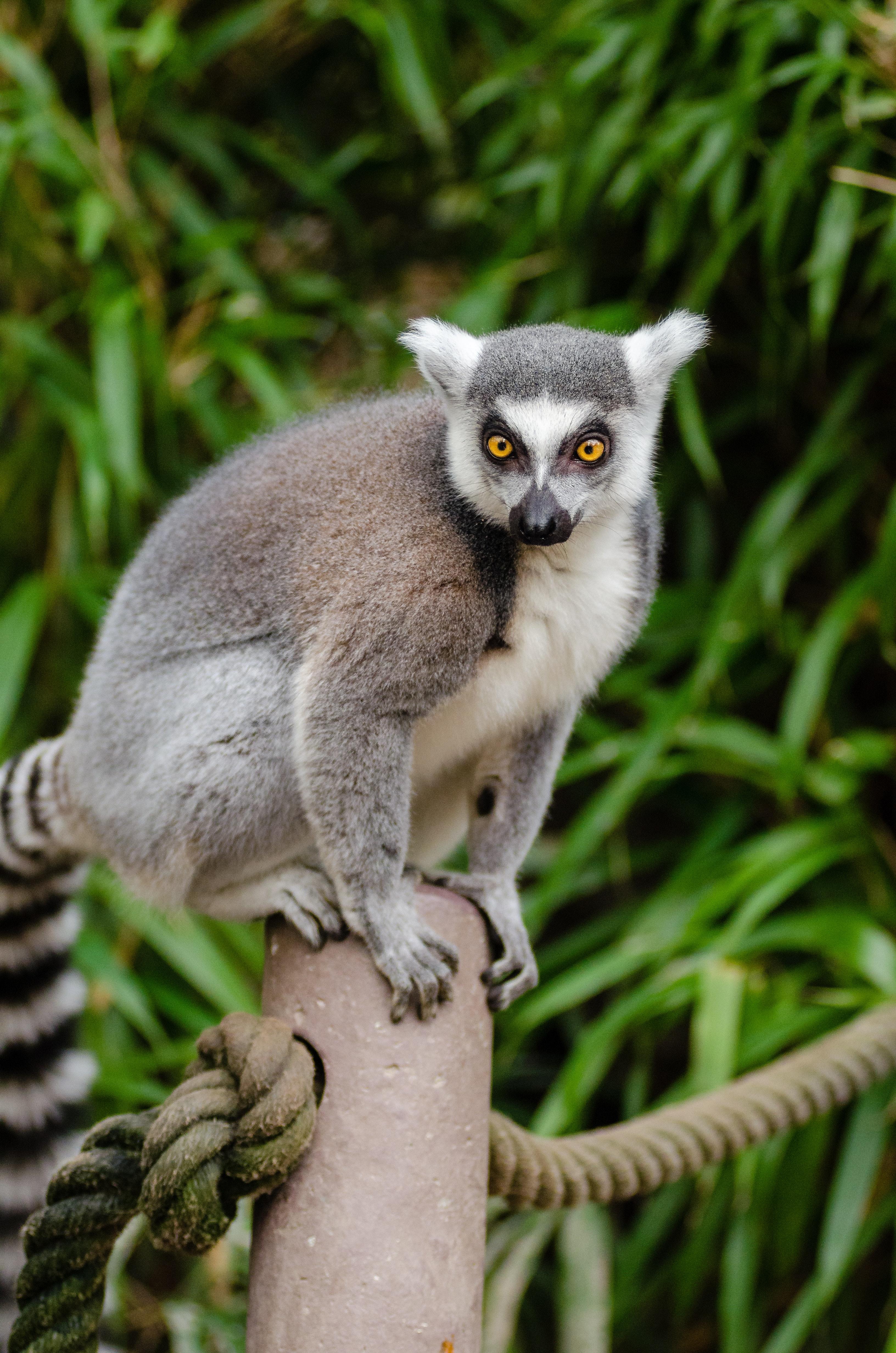 Ring tailed lemur on grey post photo