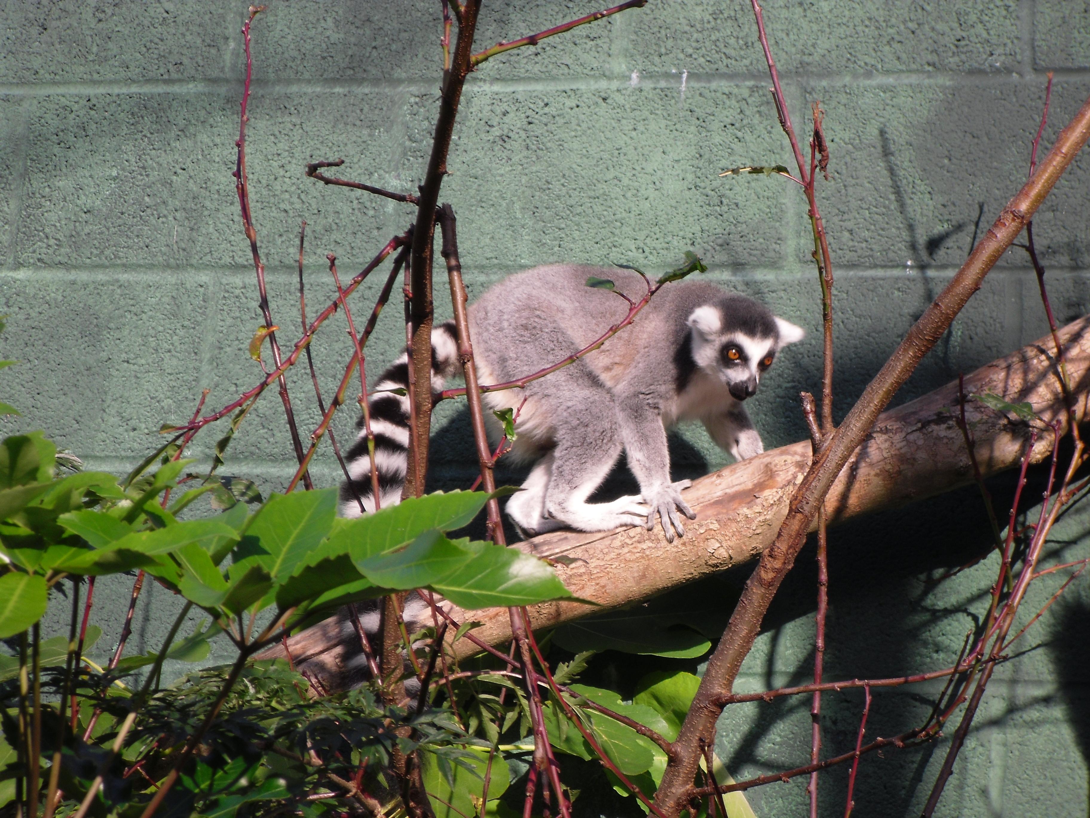 Ring-tailed lemur, Animals, Black, Lemur, Madagascar, HQ Photo