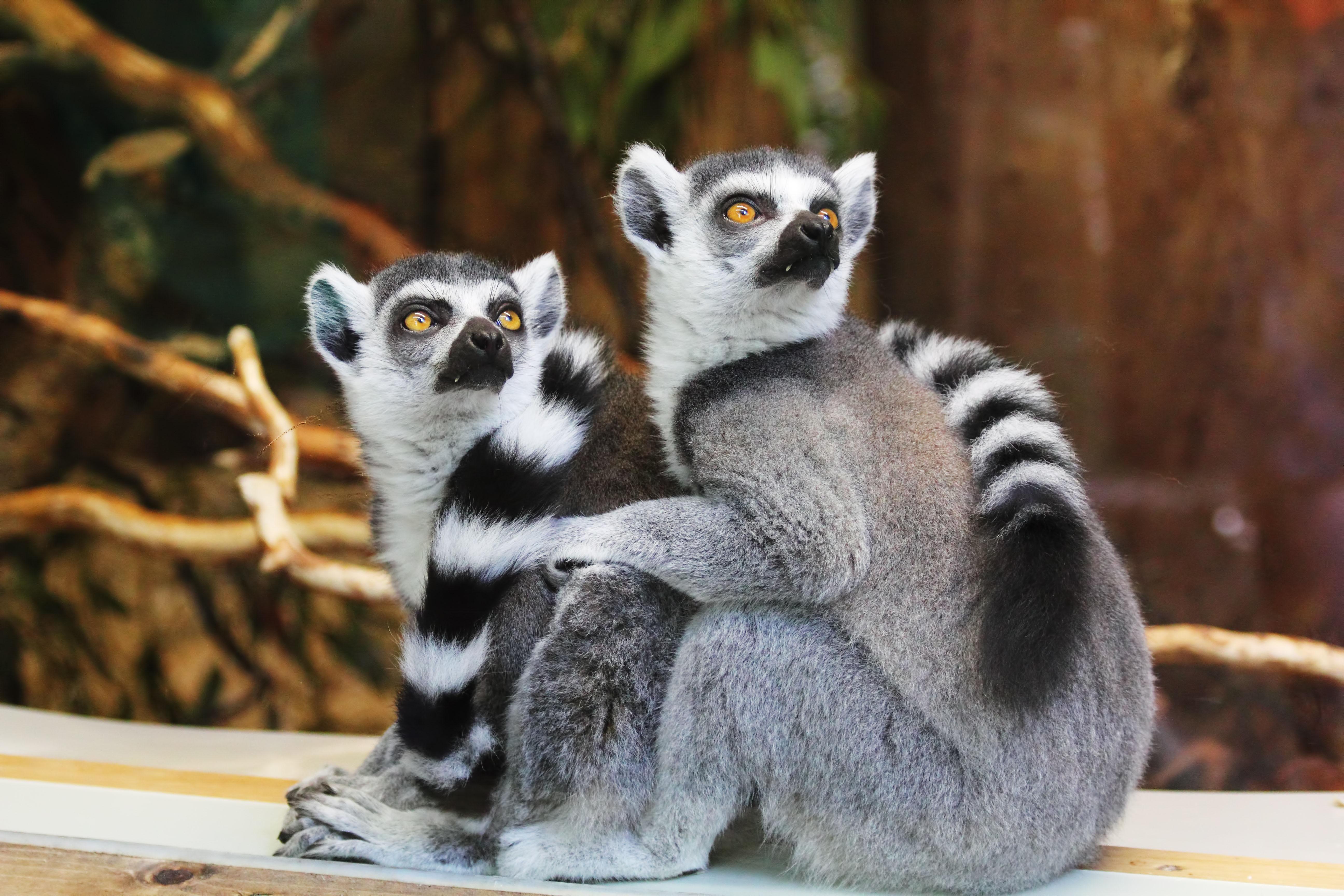 Ring-tailed Lemurs, Primates, Zoo, Wildlife, Two, HQ Photo
