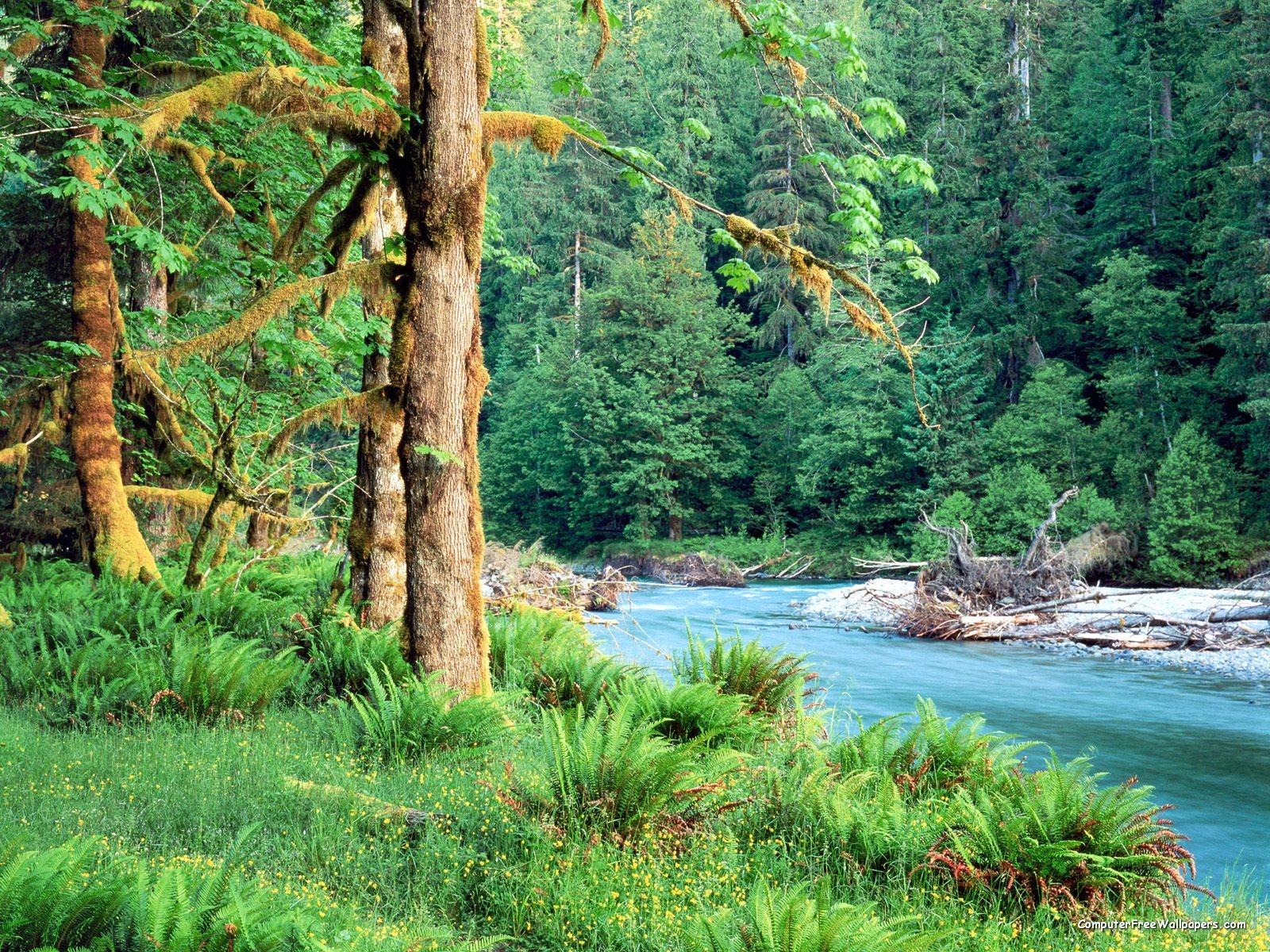 Image - Big Leaf Maple Trees along the Quinault River Quinault Rain ...