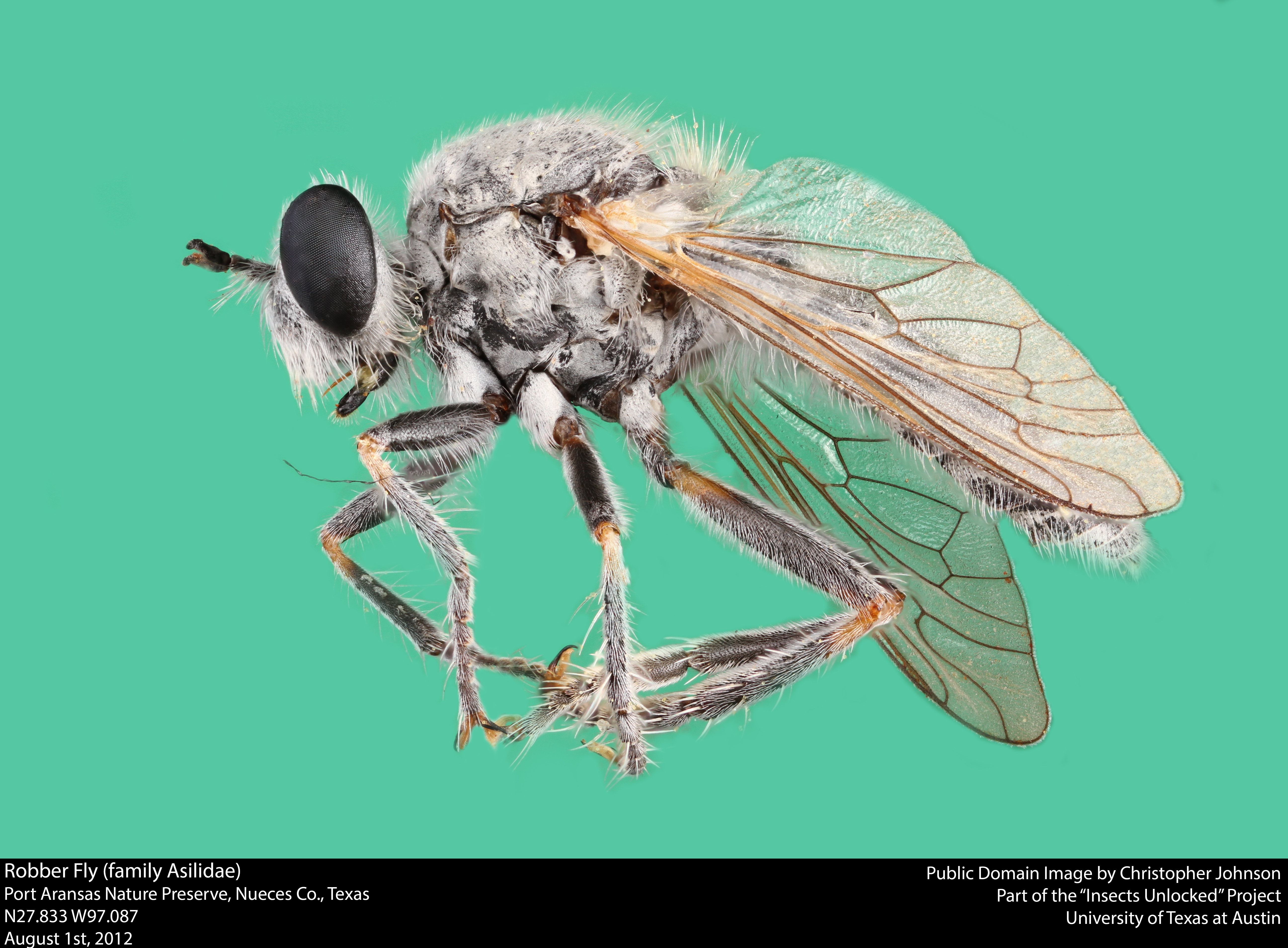 Robber fly (family asilidae) photo