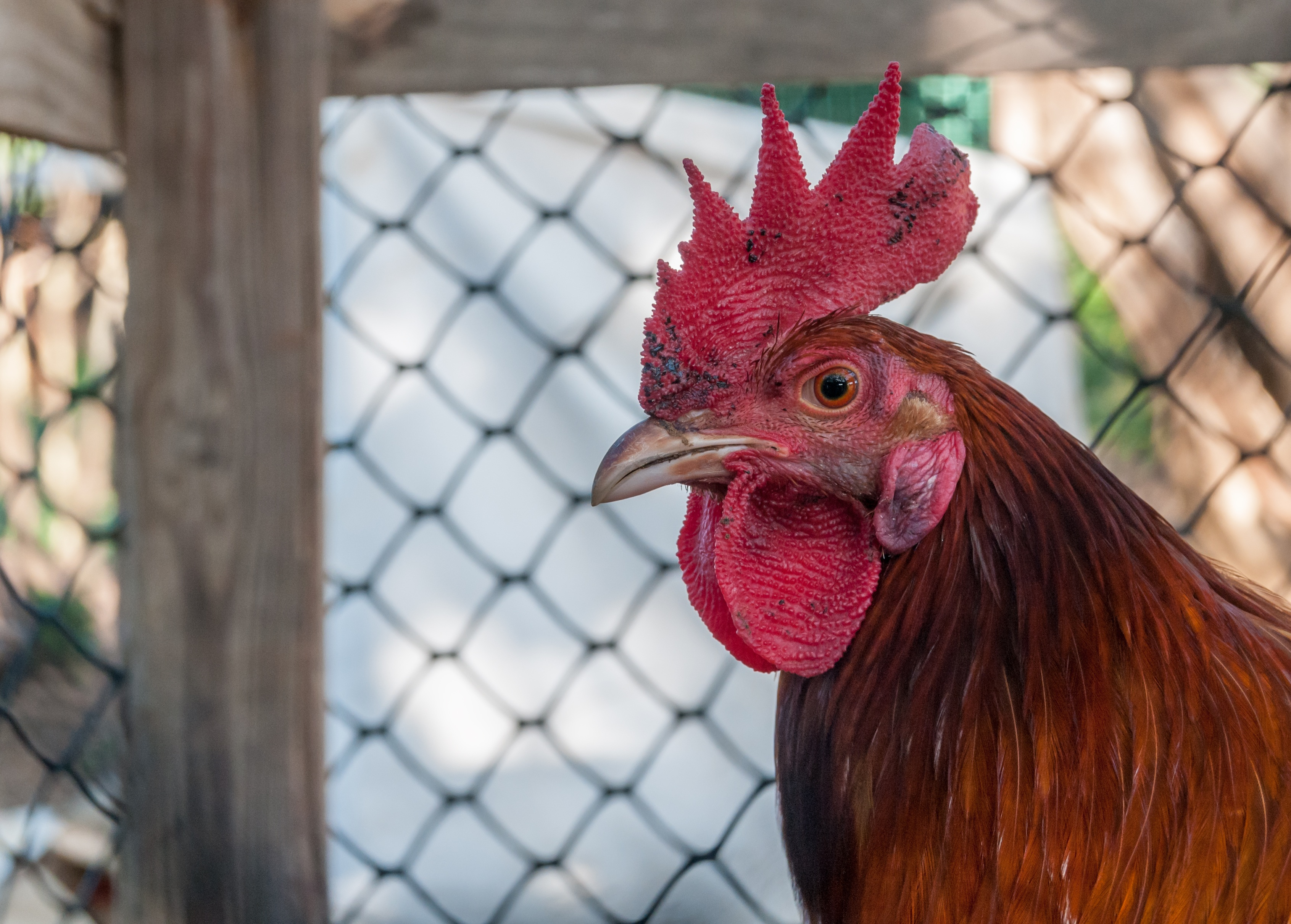 Rooster Closeup, Animal, Bird, Chicken, Close, HQ Photo