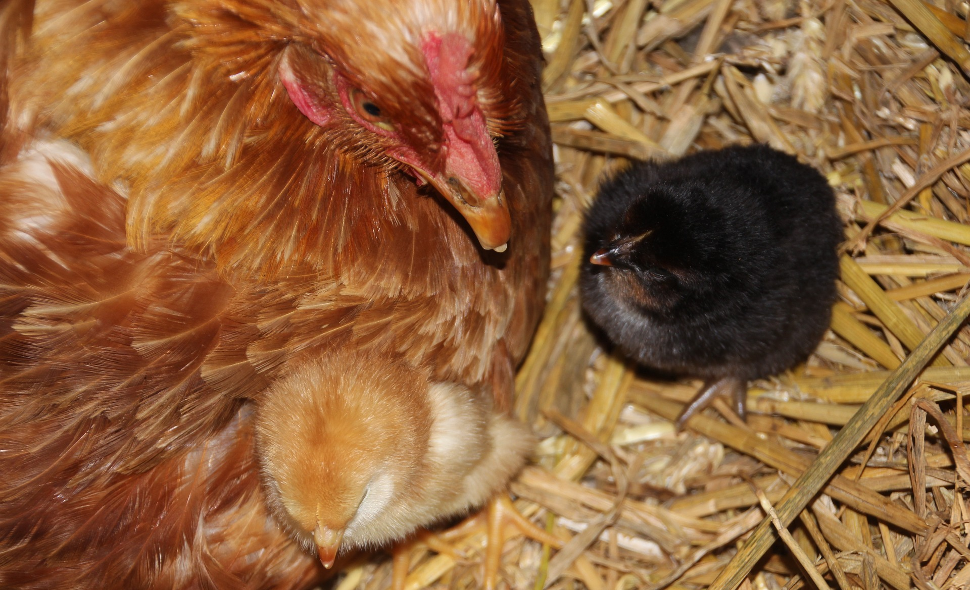 Rooster n chicks photo