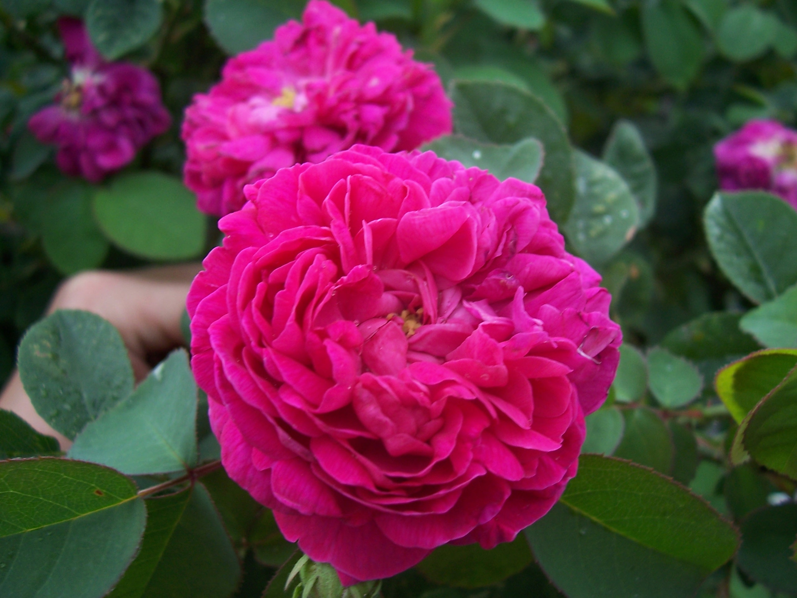 Ravishing Rose - Smile Herb
