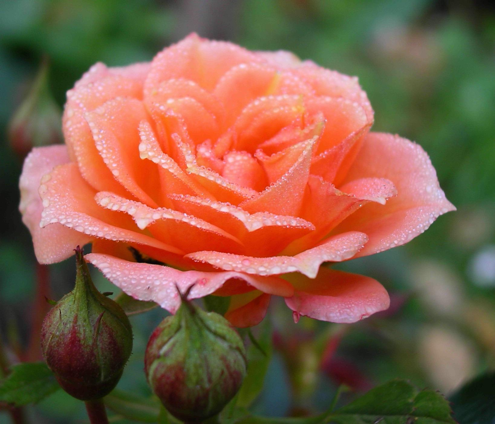 Roses and Lilies | GARDEN PLANTS: FLOWERING, Pictures Flowers