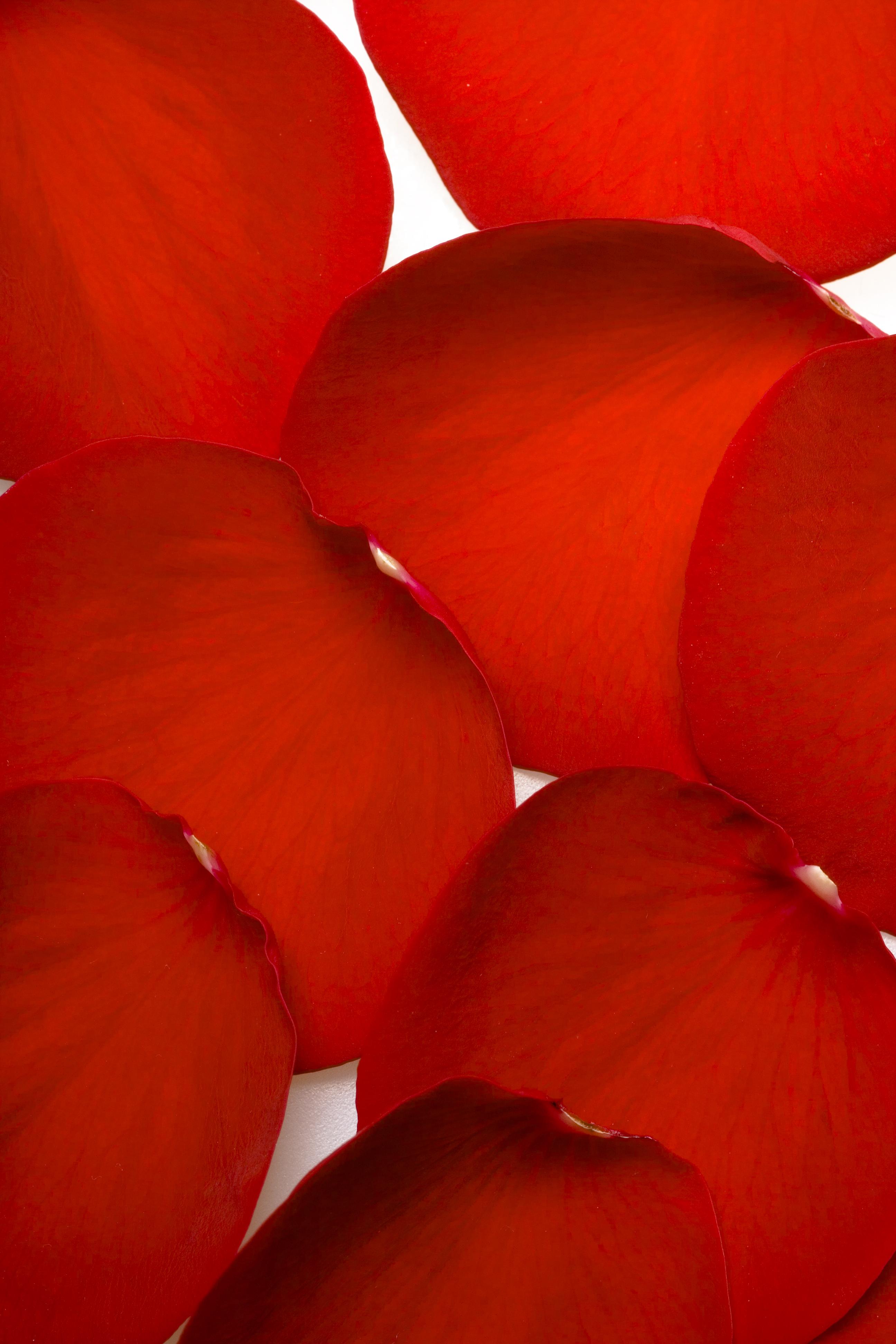 rose, Con2011, Flower, Fresh, Gift, HQ Photo