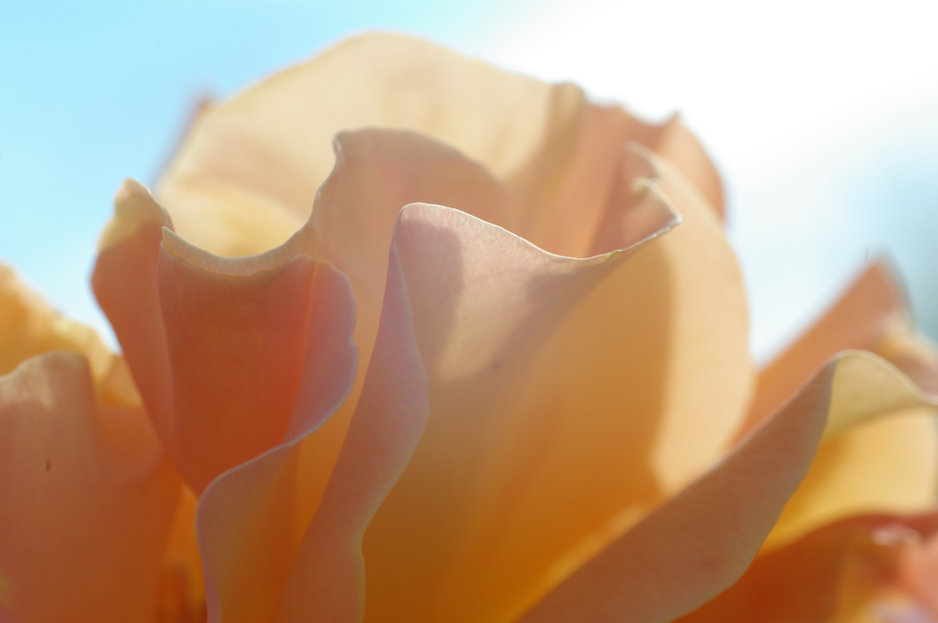Rose, HQ Photo