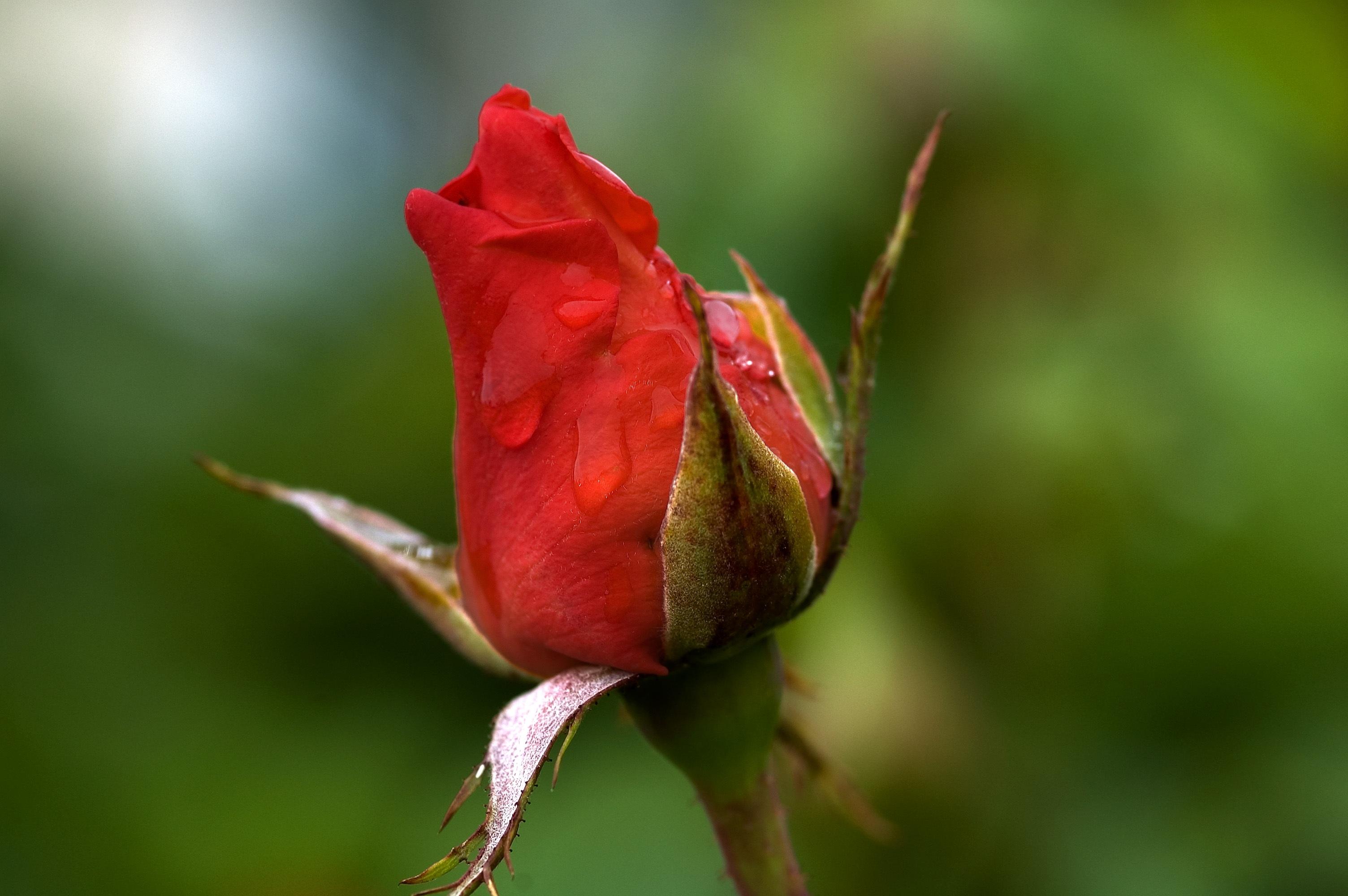 Rose bud photo