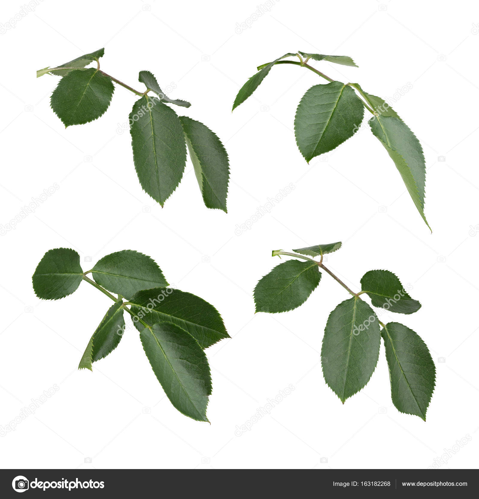 Free photo: Rose leaves - Fresh, Garden, Green - Free Download - Jooinn