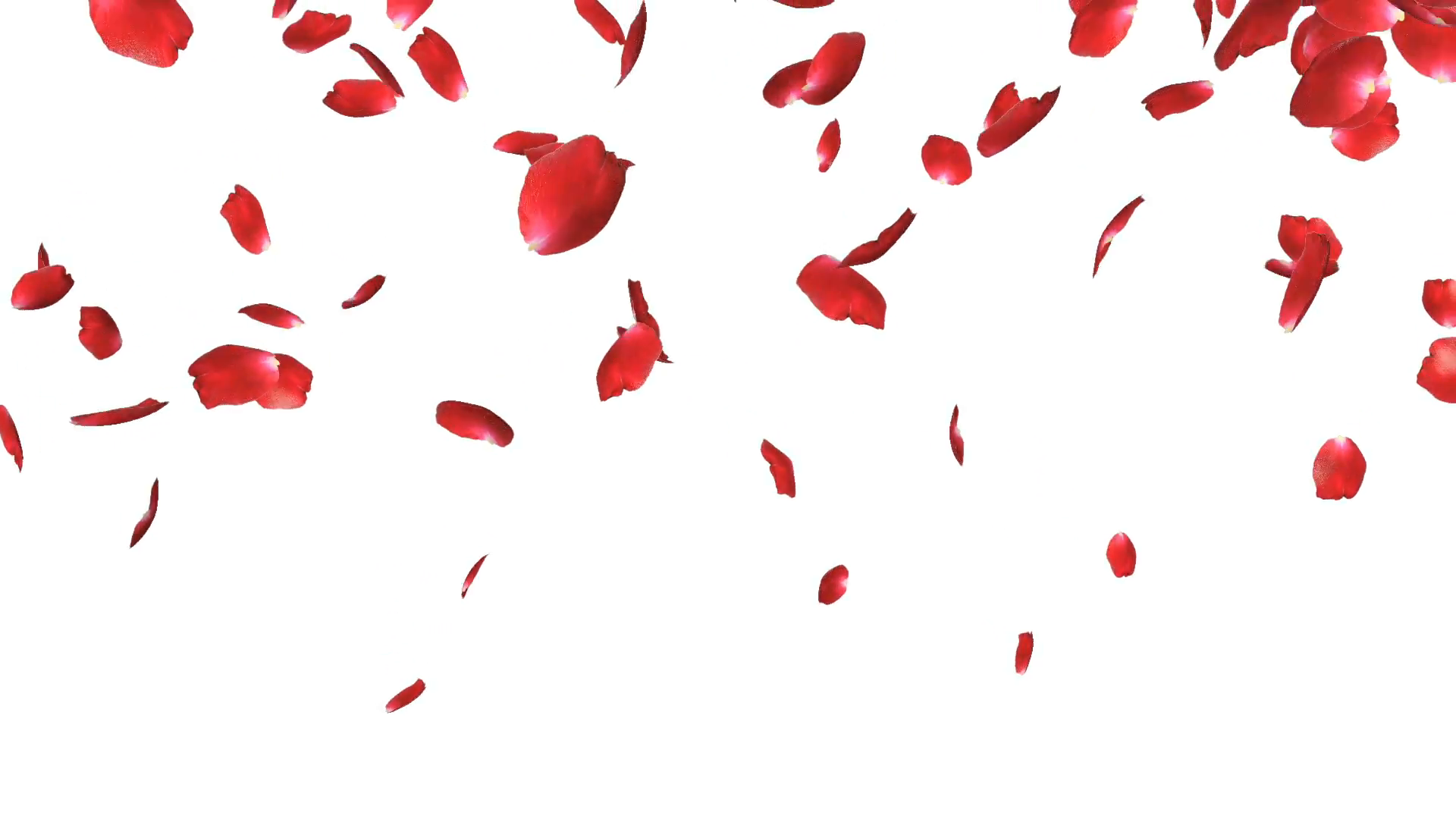 Rose petals Falling, against white Stock Video Footage - VideoBlocks