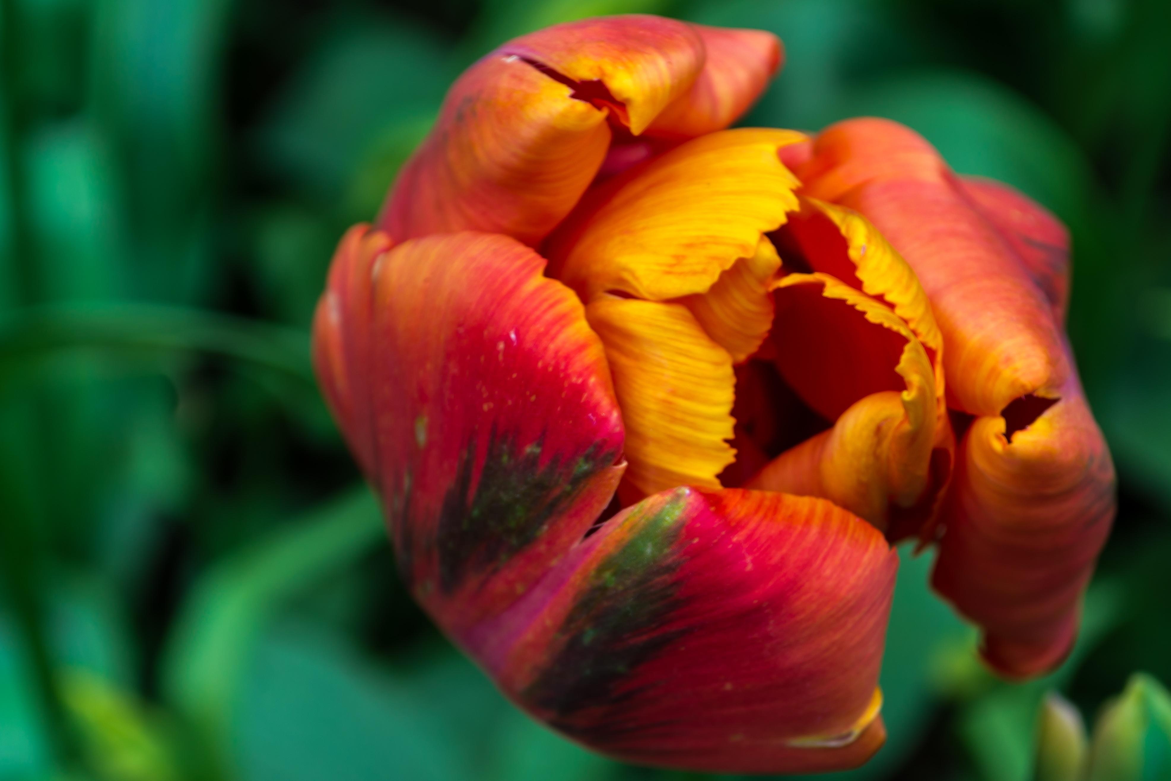 Rose, Fragrance, Garden, Nature, Park, HQ Photo
