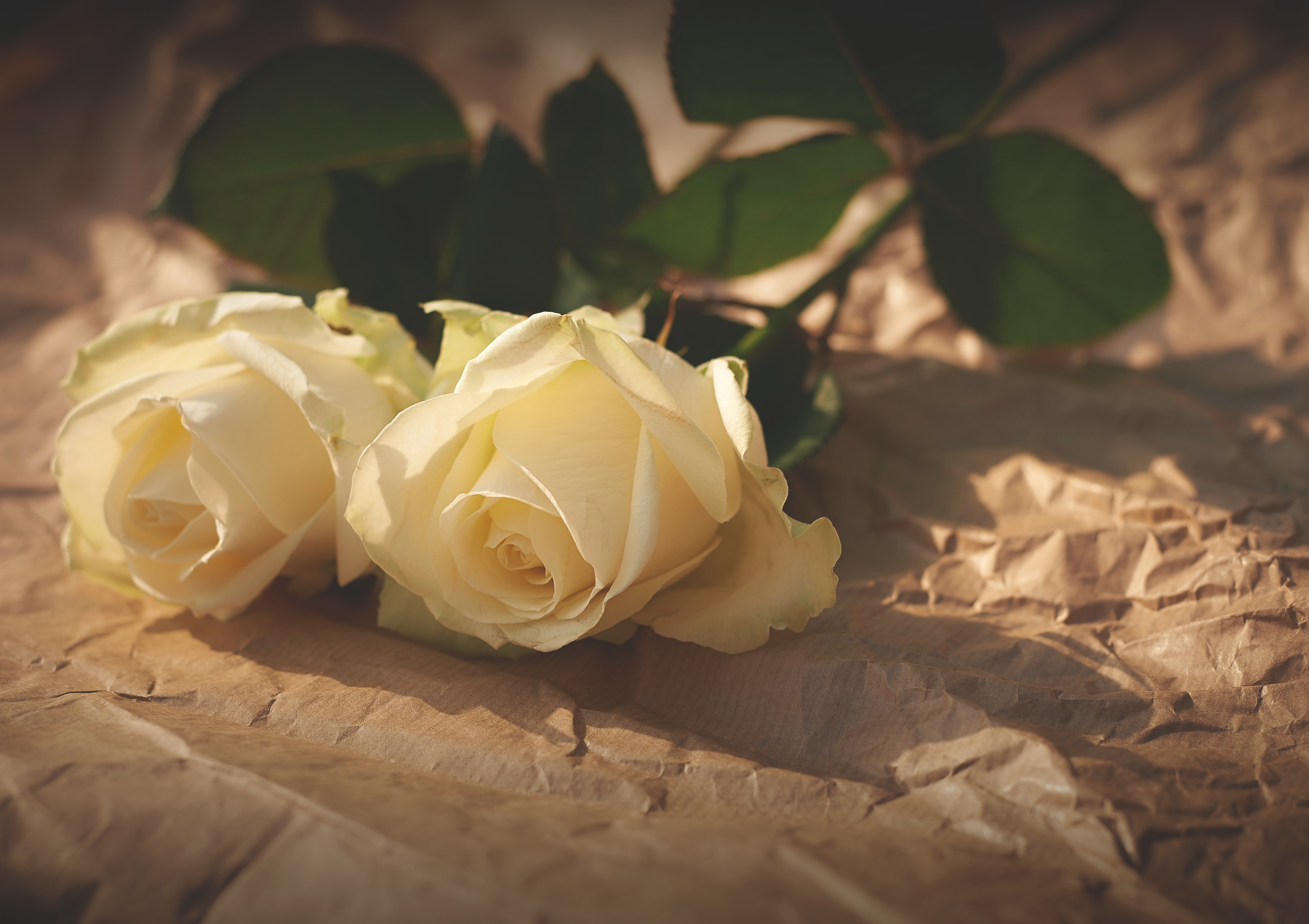 Free photo: Roses - Smell, White, Rose - Free Download - Jooinn