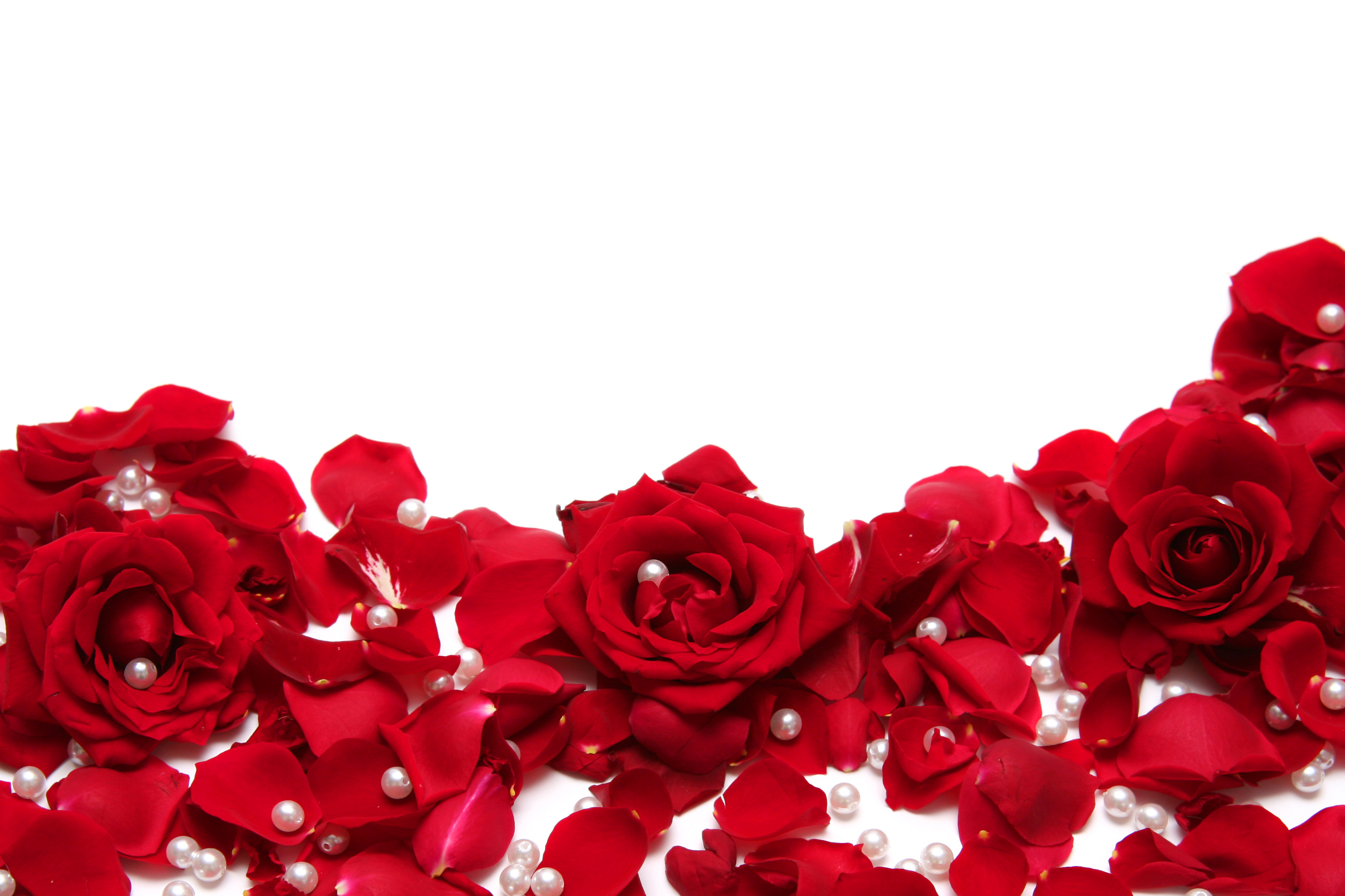 Red Roses White Background | Gallery Yopriceville - High-Quality ...