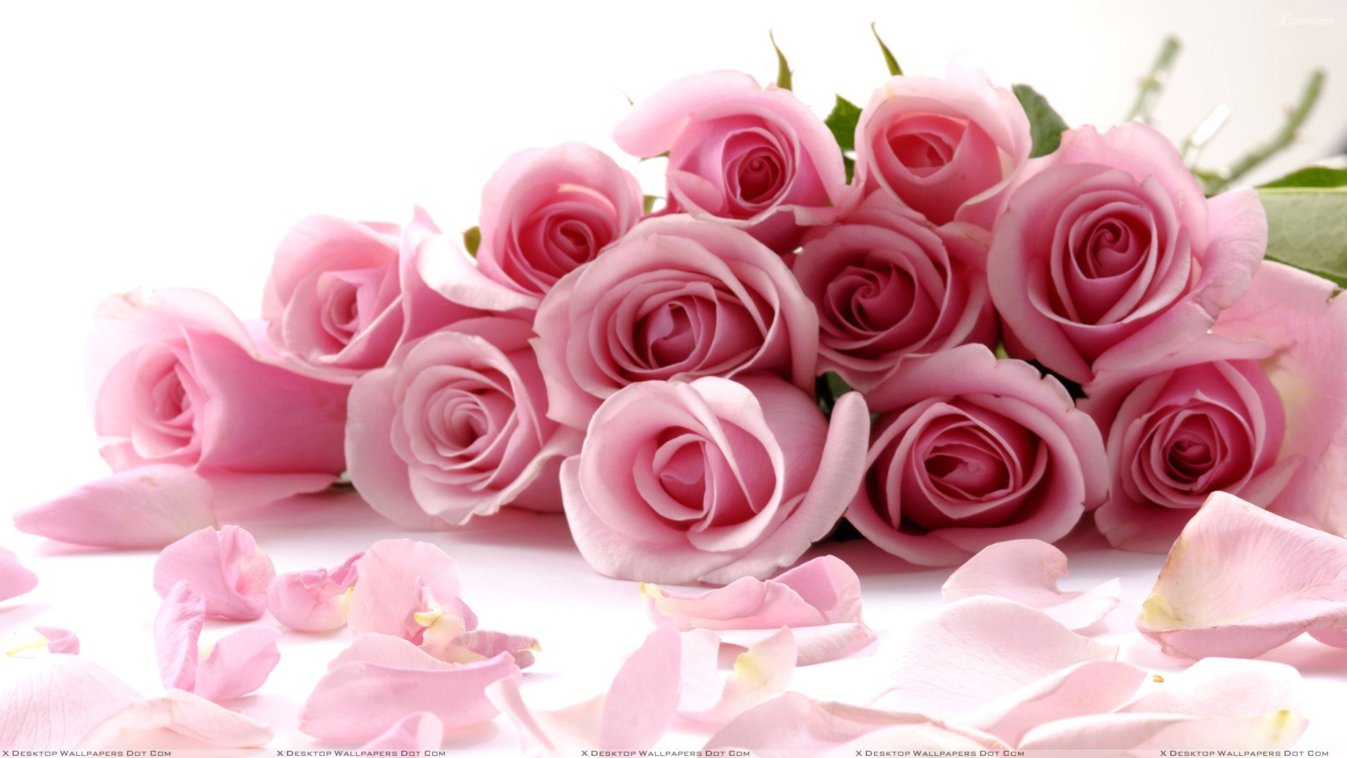 Pink Roses On White Background Closeup Wallpaper