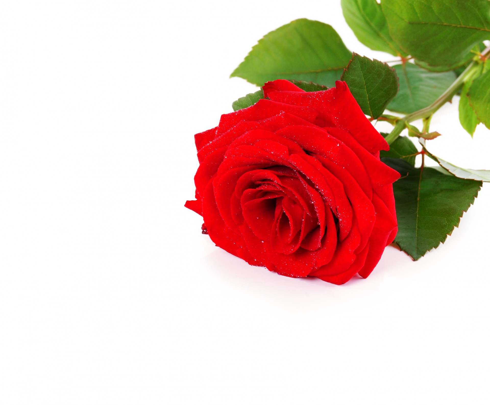 Red Roses On A White Background Free Stock Photo - Public Domain ...
