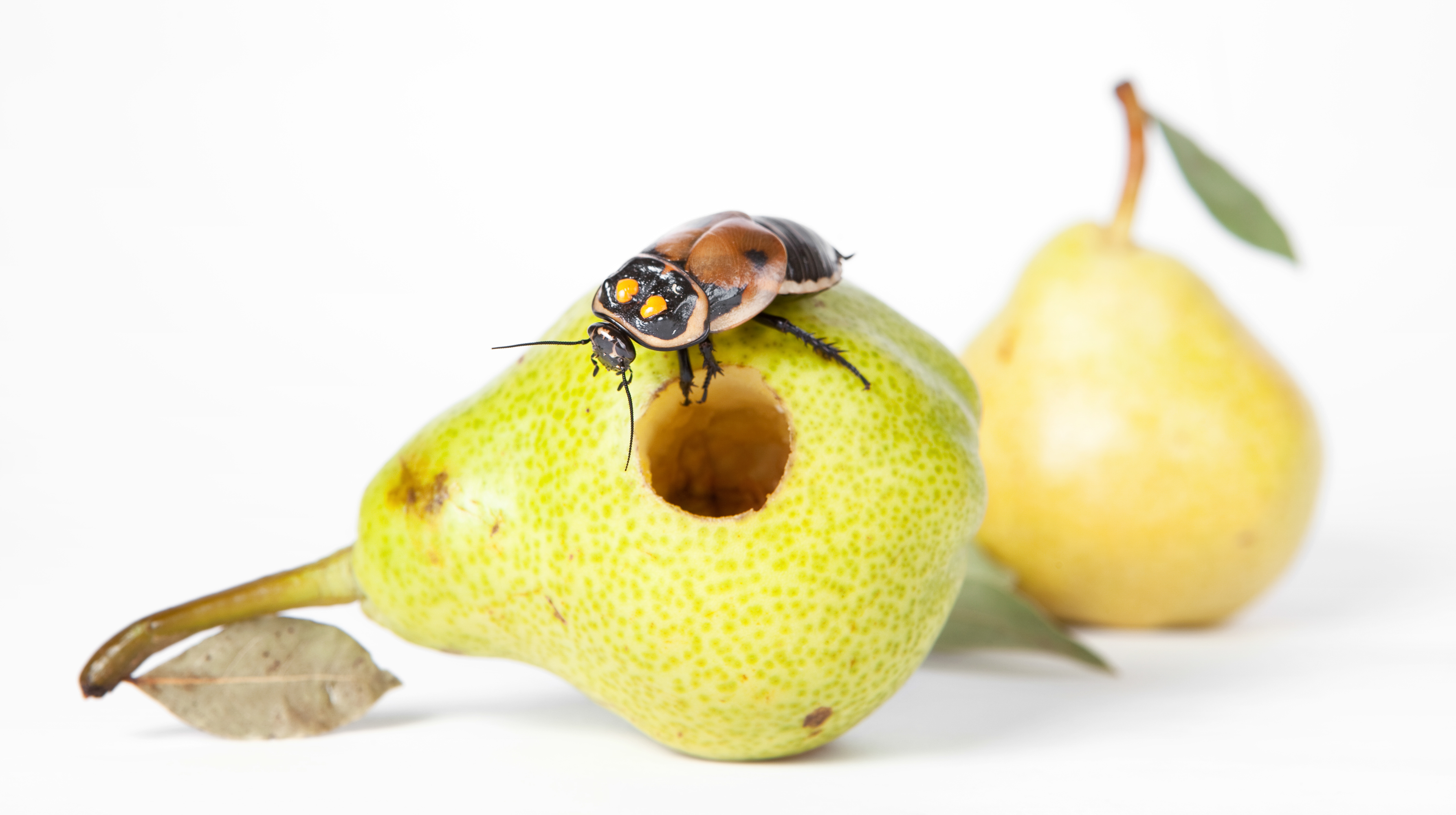 Worms in pear photo