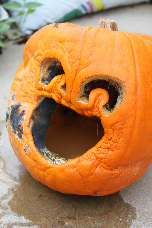 Rotten pumpkin, Funny, Gross, Halloween, Pumpkin, HQ Photo
