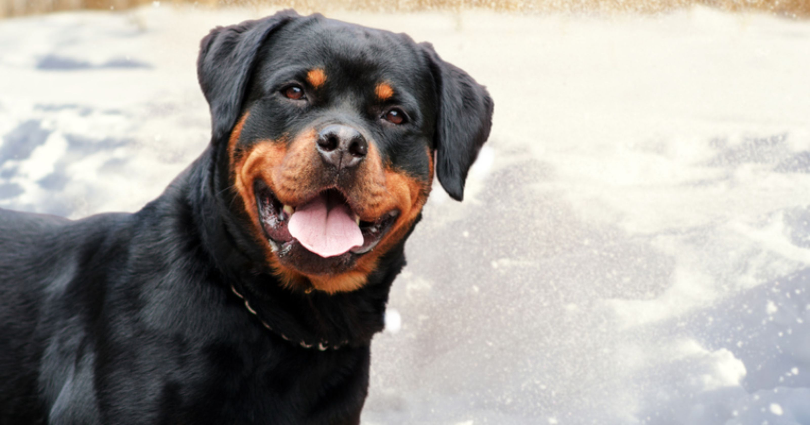 Rottweiler is most searched dog breed in Pennsylvania, study finds
