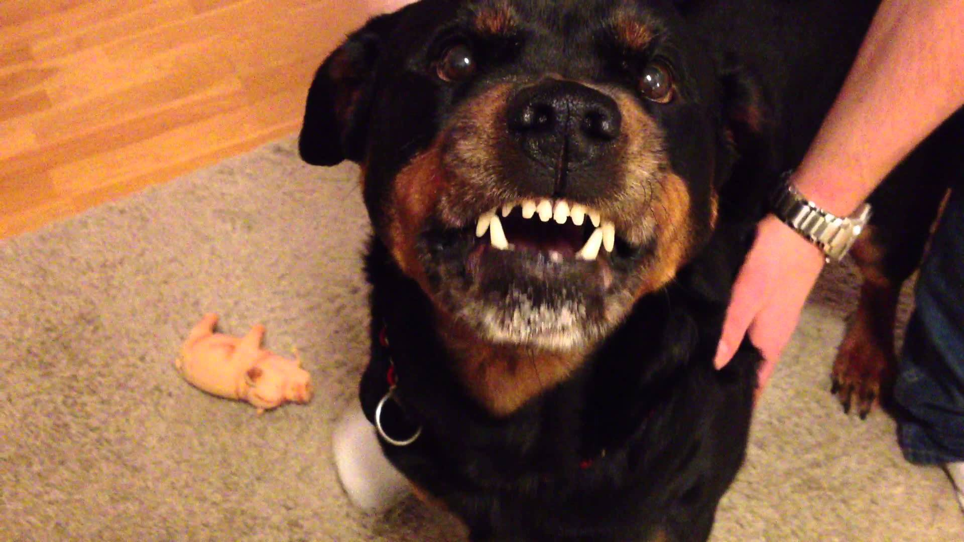 Angry Rottweiler 2 - YouTube