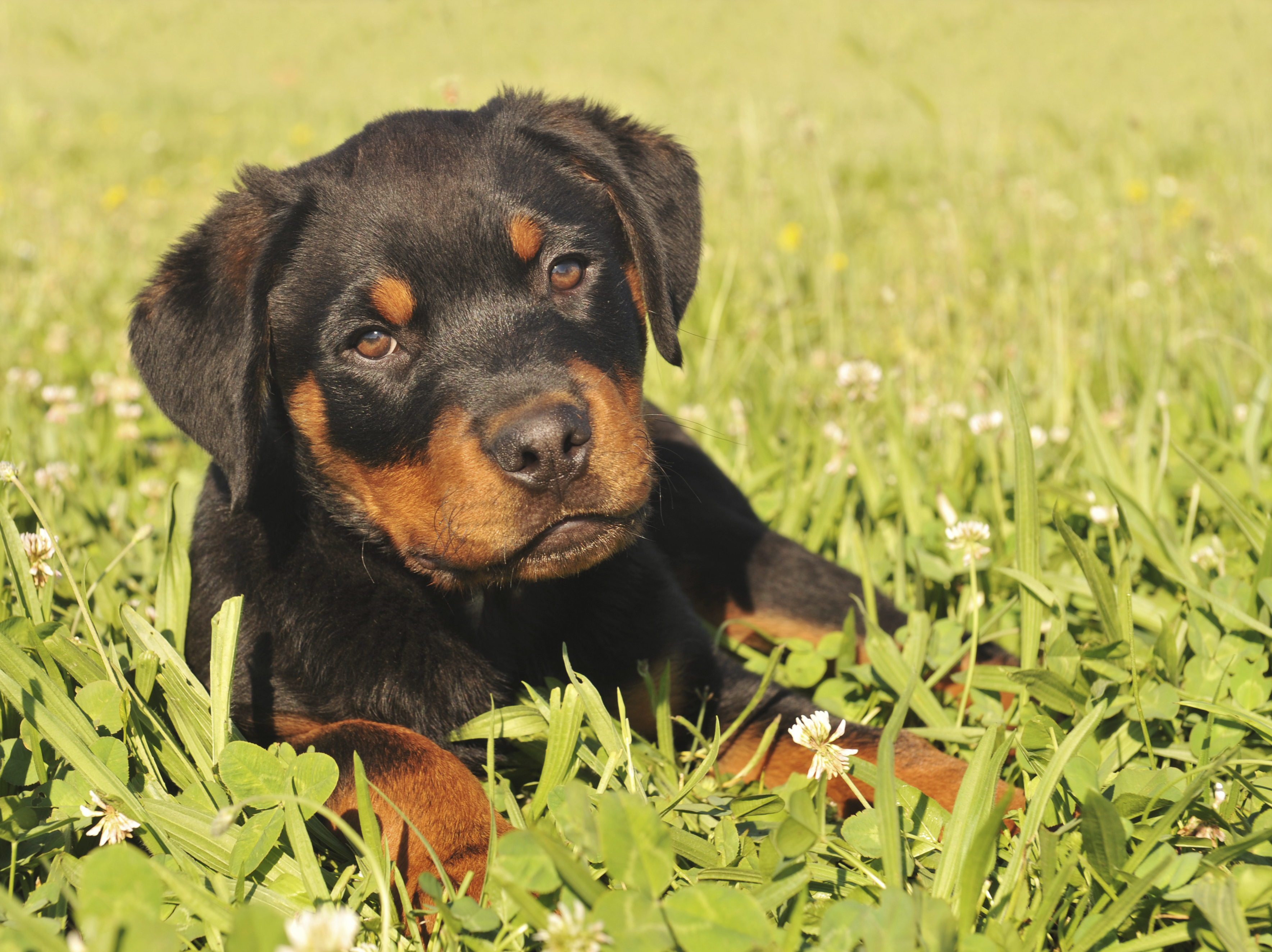 Common Rottweiler Health Problems | Health Problems by Dog Breeds