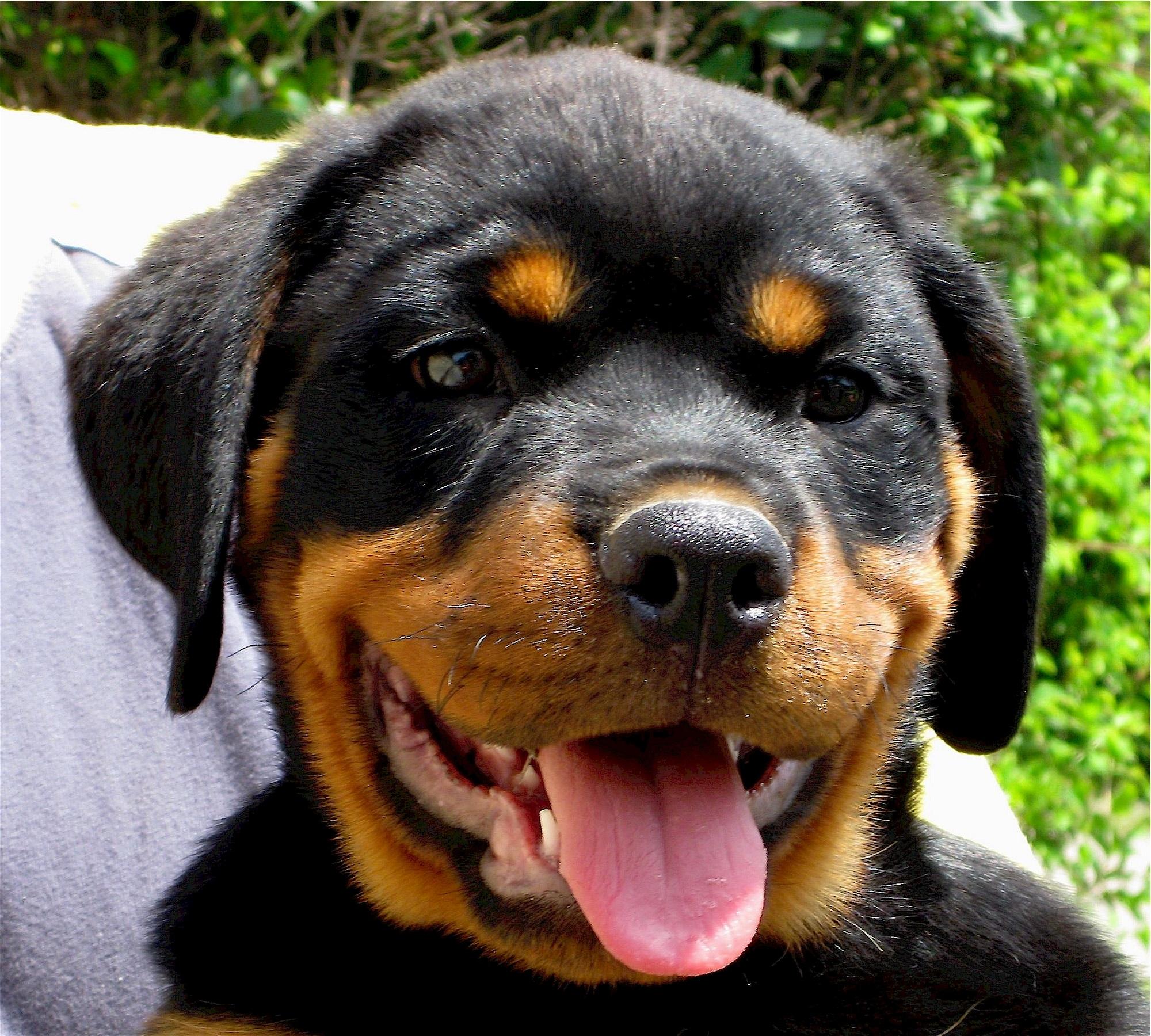 Rottweiler, Animal, Dog, Free dog photos, Friend, HQ Photo