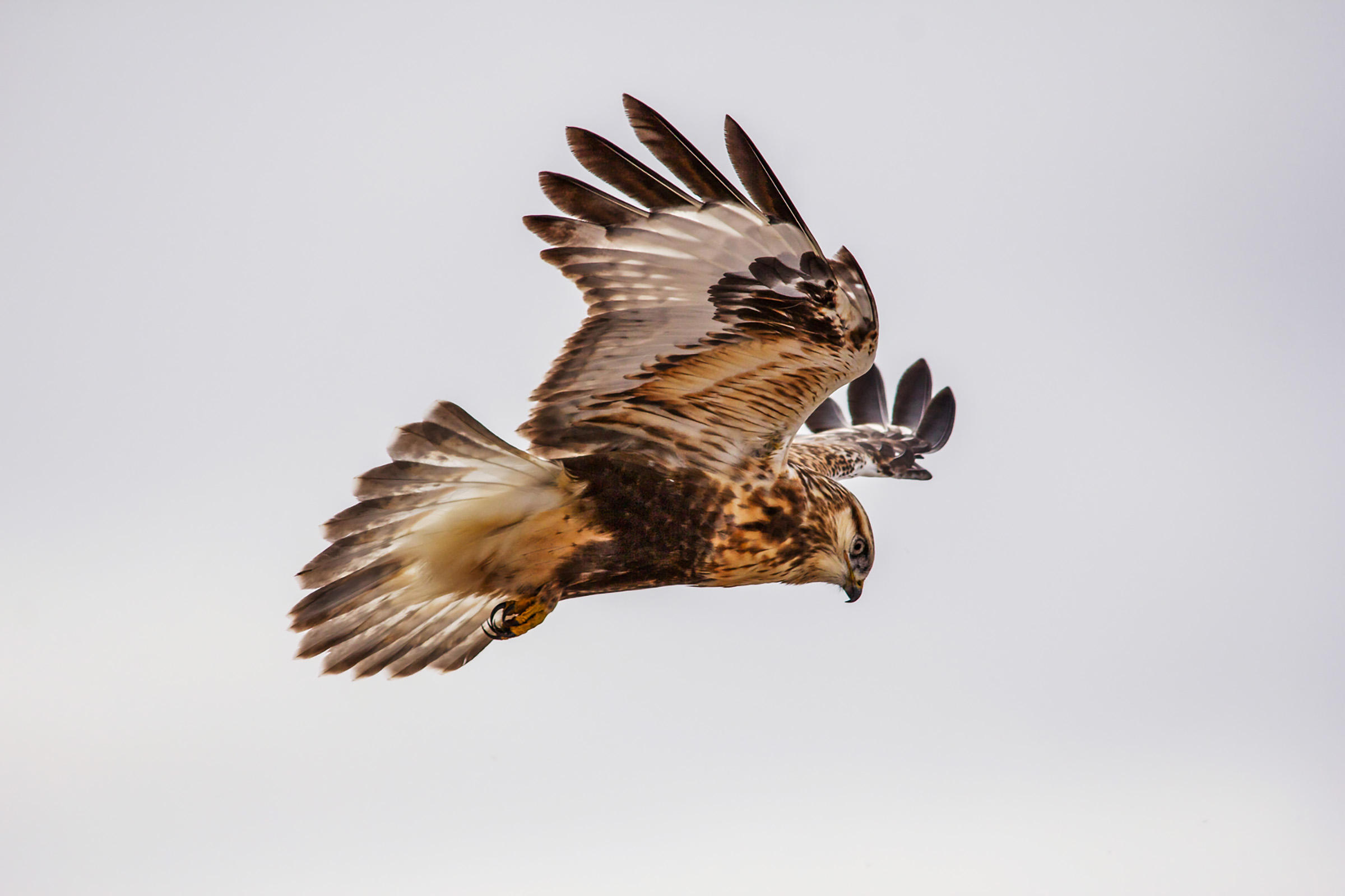 Rough legged hawk photo